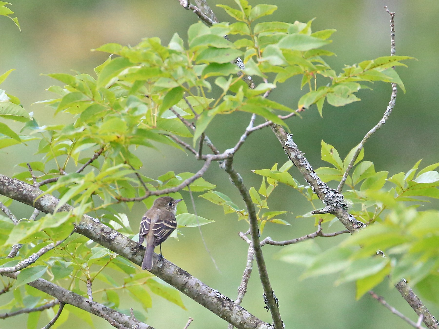 Least Flycatcher - Tim Lenz