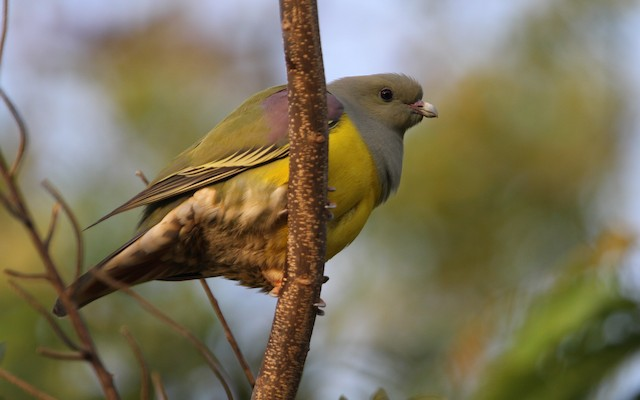 Bruce's Green-Pigeon