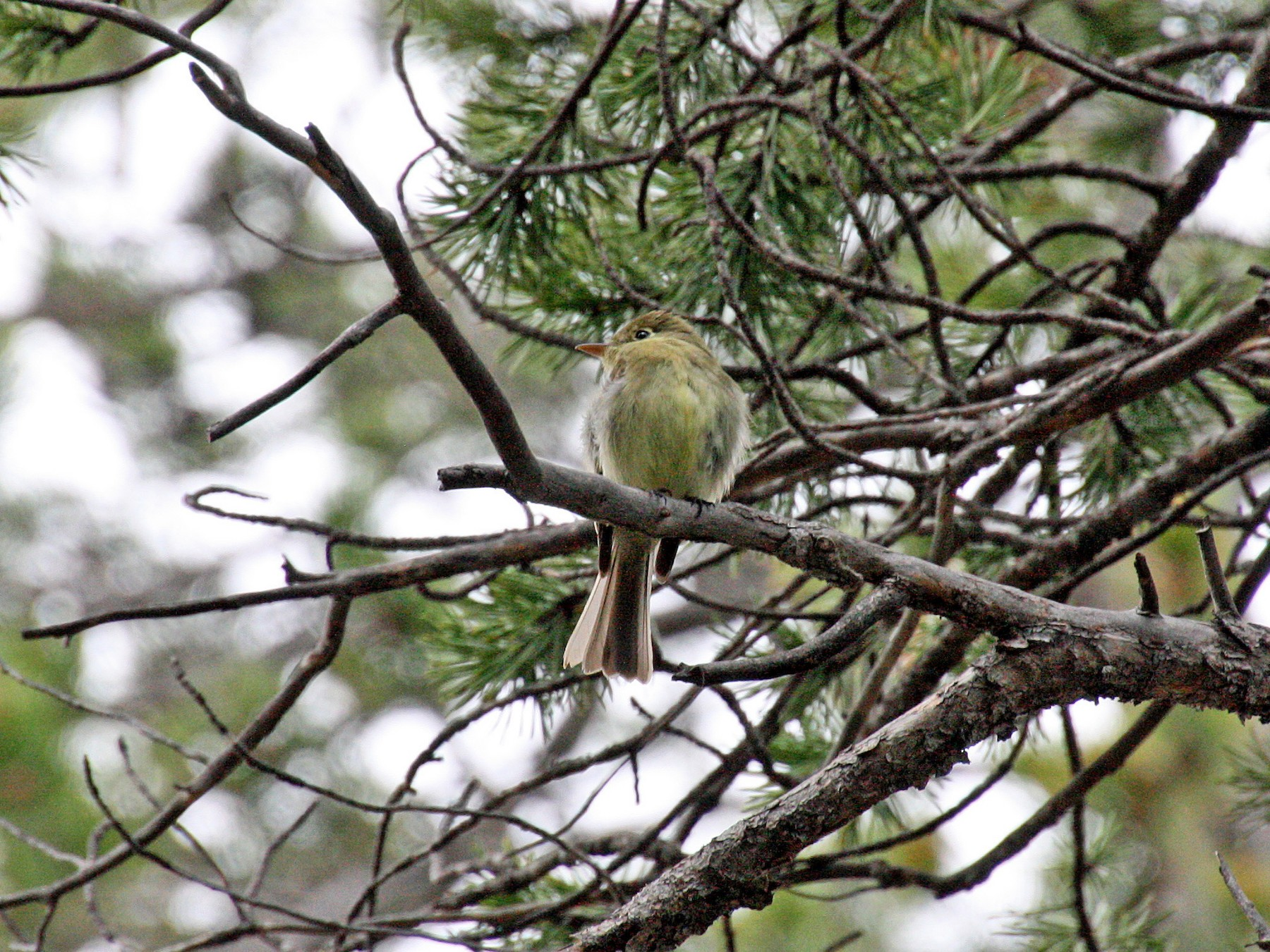 Cordilleran Flycatcher - Noreen Baker