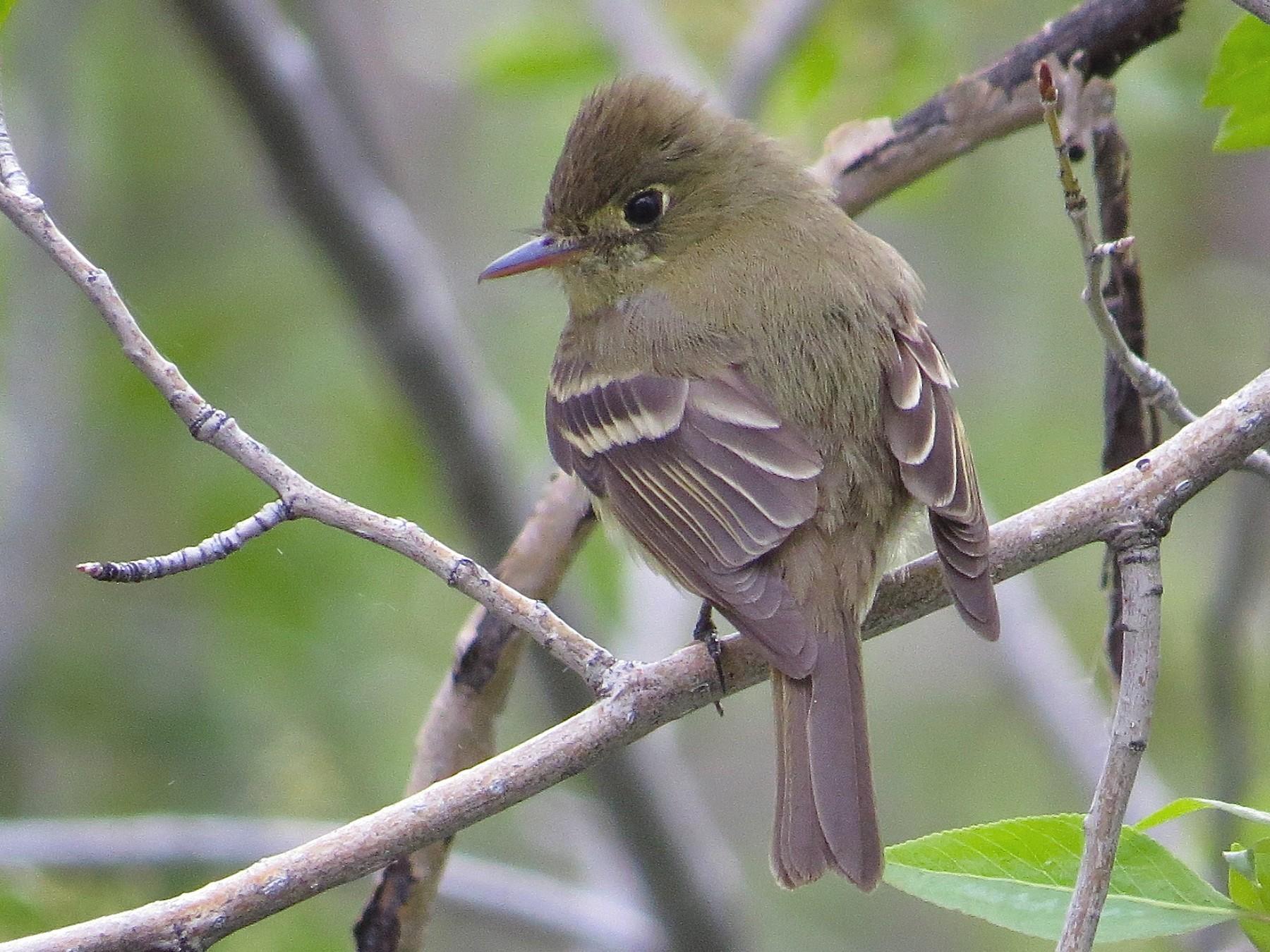 Cordilleran Flycatcher - Adam Dudley