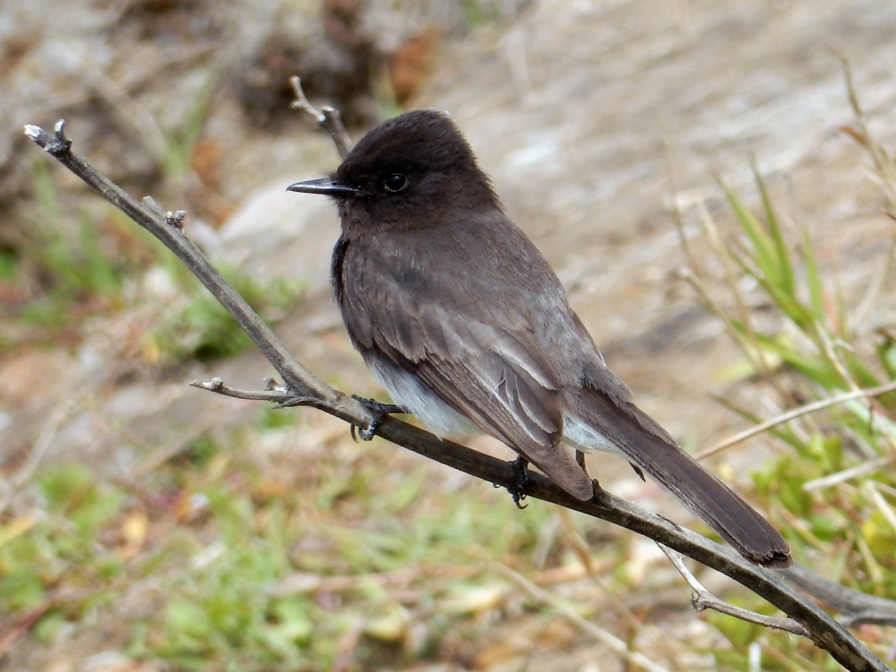 Black Phoebe - Peter Paul