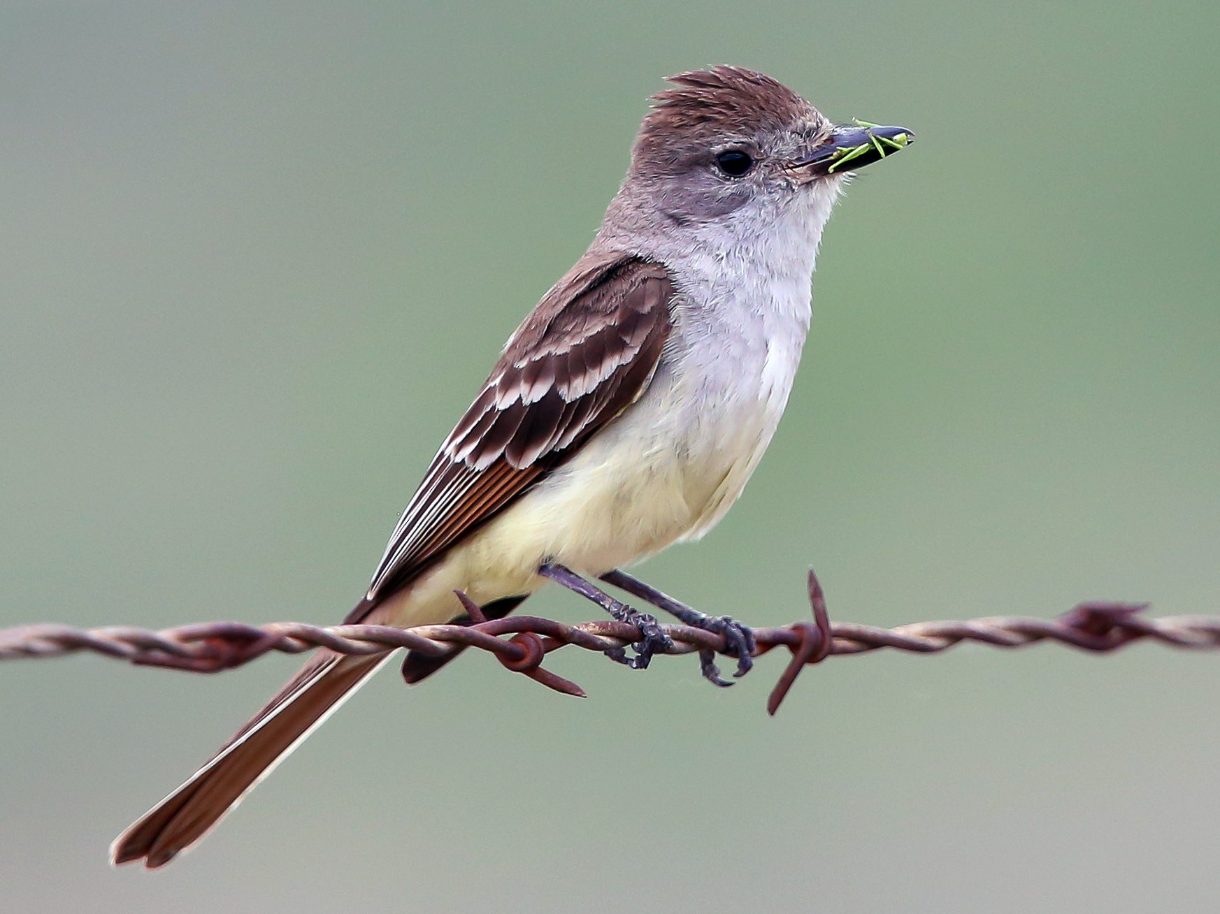 Ash-throated Flycatcher - Alex Burdo