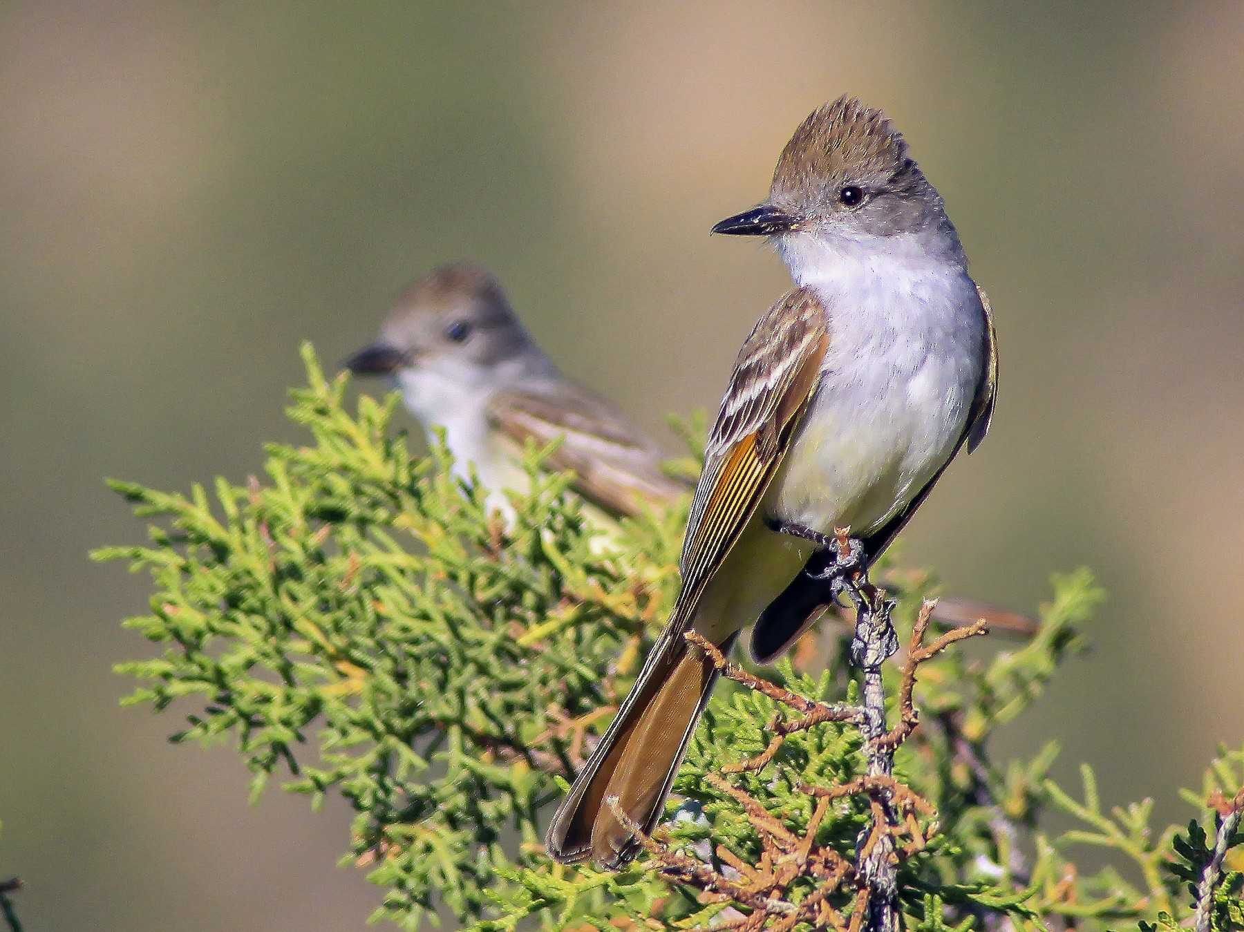 Ash-throated Flycatcher - Matthew Pendleton