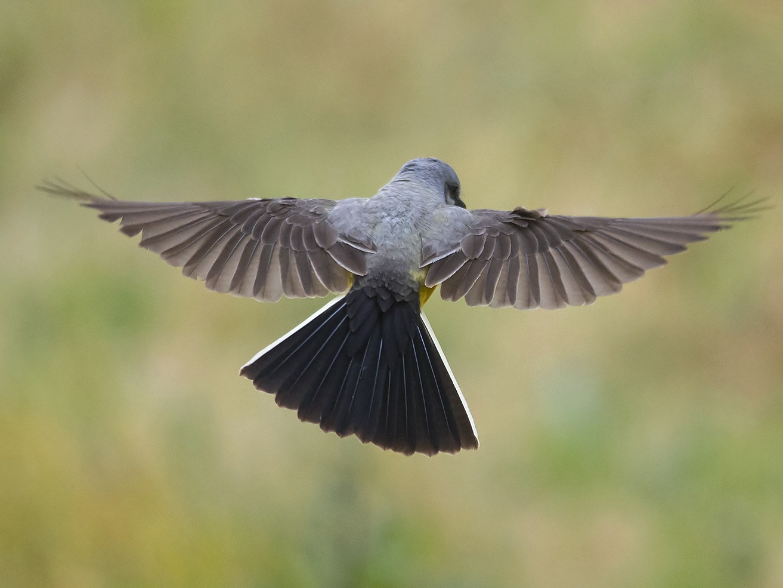 Western Kingbird - Jerry Ting