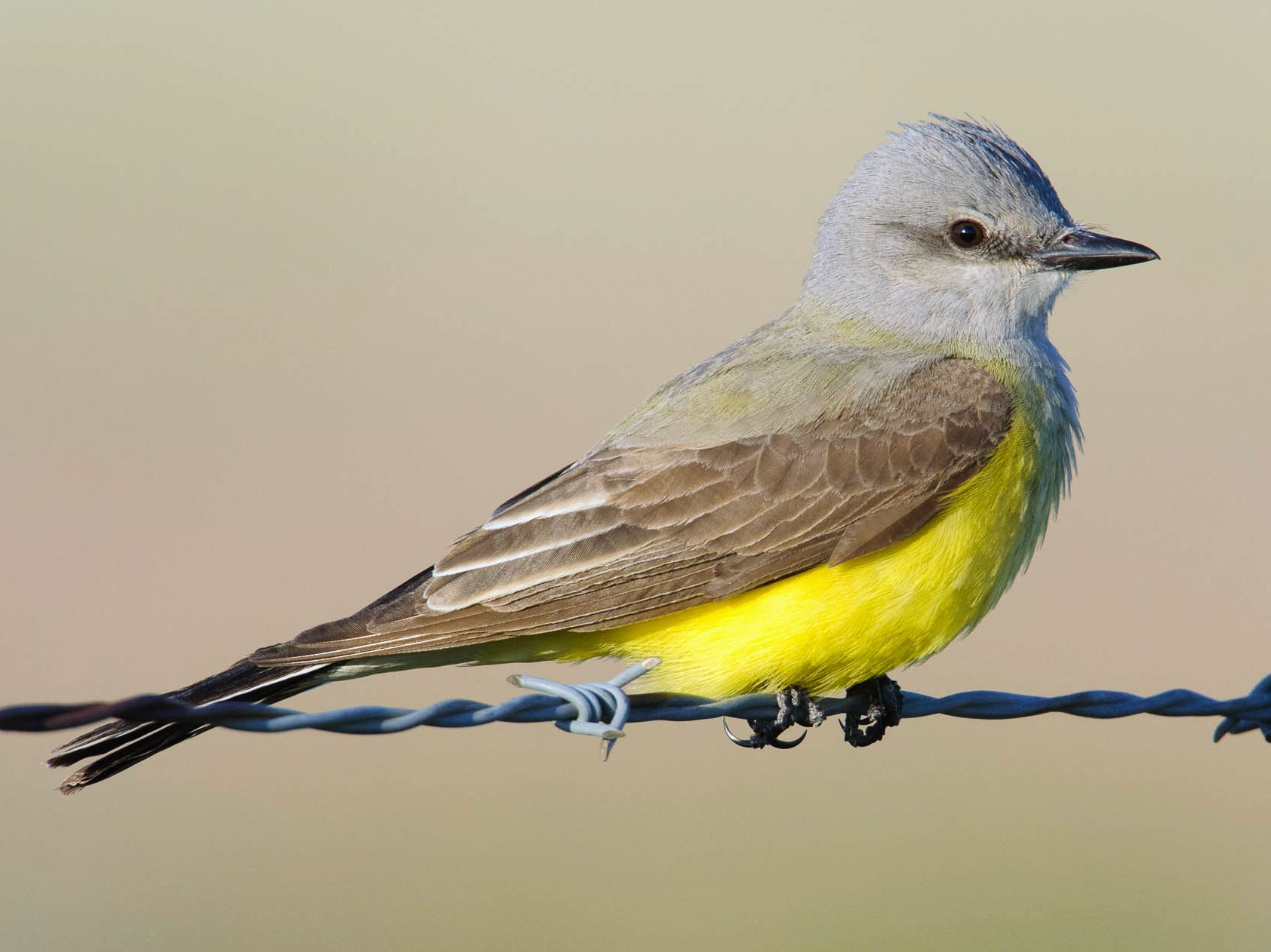 Western Kingbird - Gerrit Vyn