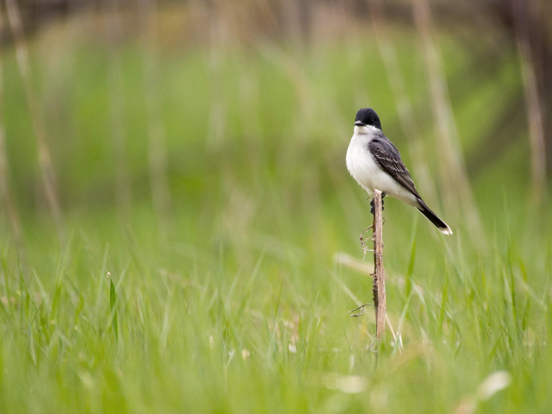 Eastern Kingbird - Jean-Sébastien Guénette