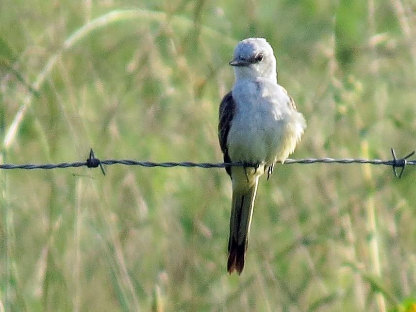 Scissor-tailed Flycatcher - Joan Baker