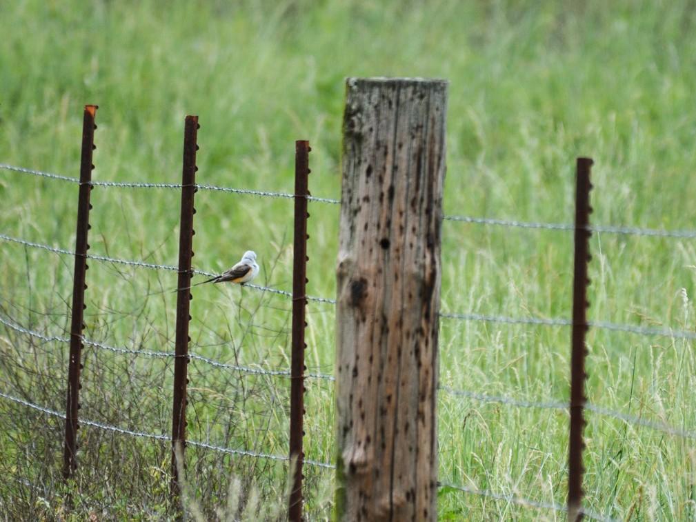 Scissor-tailed Flycatcher - Harold  Donnelly