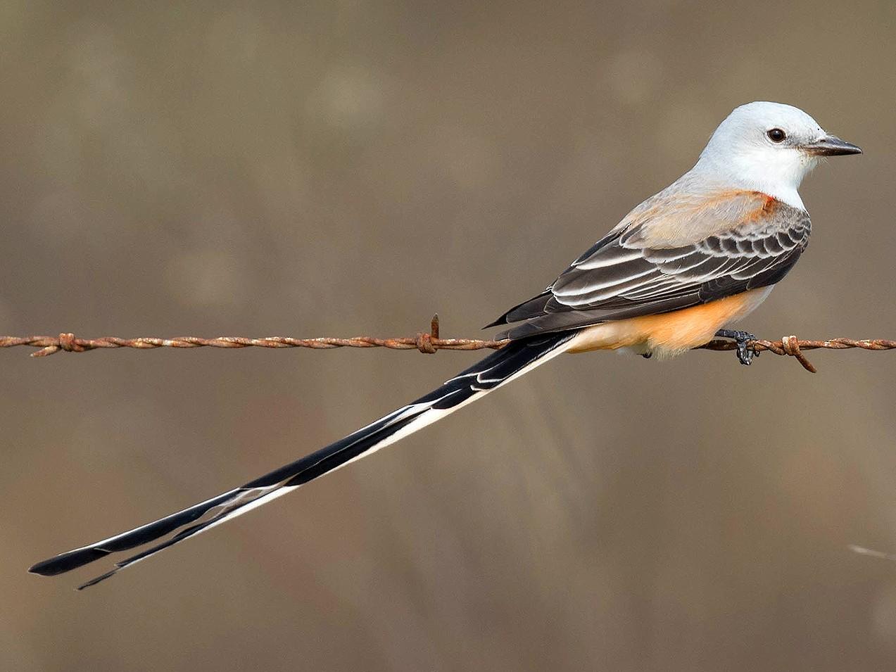 Scissor-tailed Flycatcher - Ryan Shaw