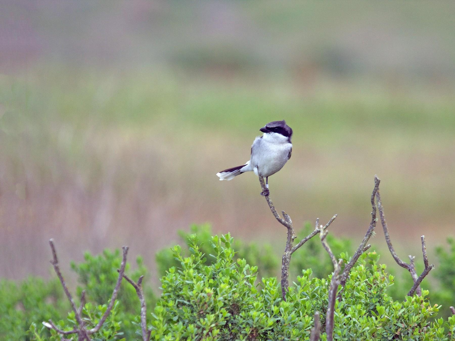 Loggerhead Shrike - Matt Brady