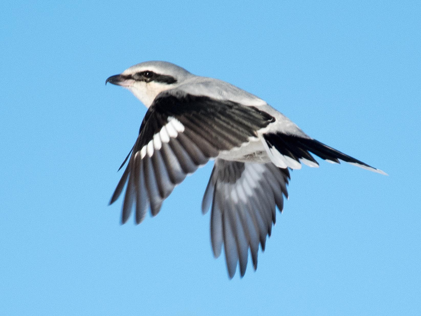 Northern Shrike - Simon Boivin
