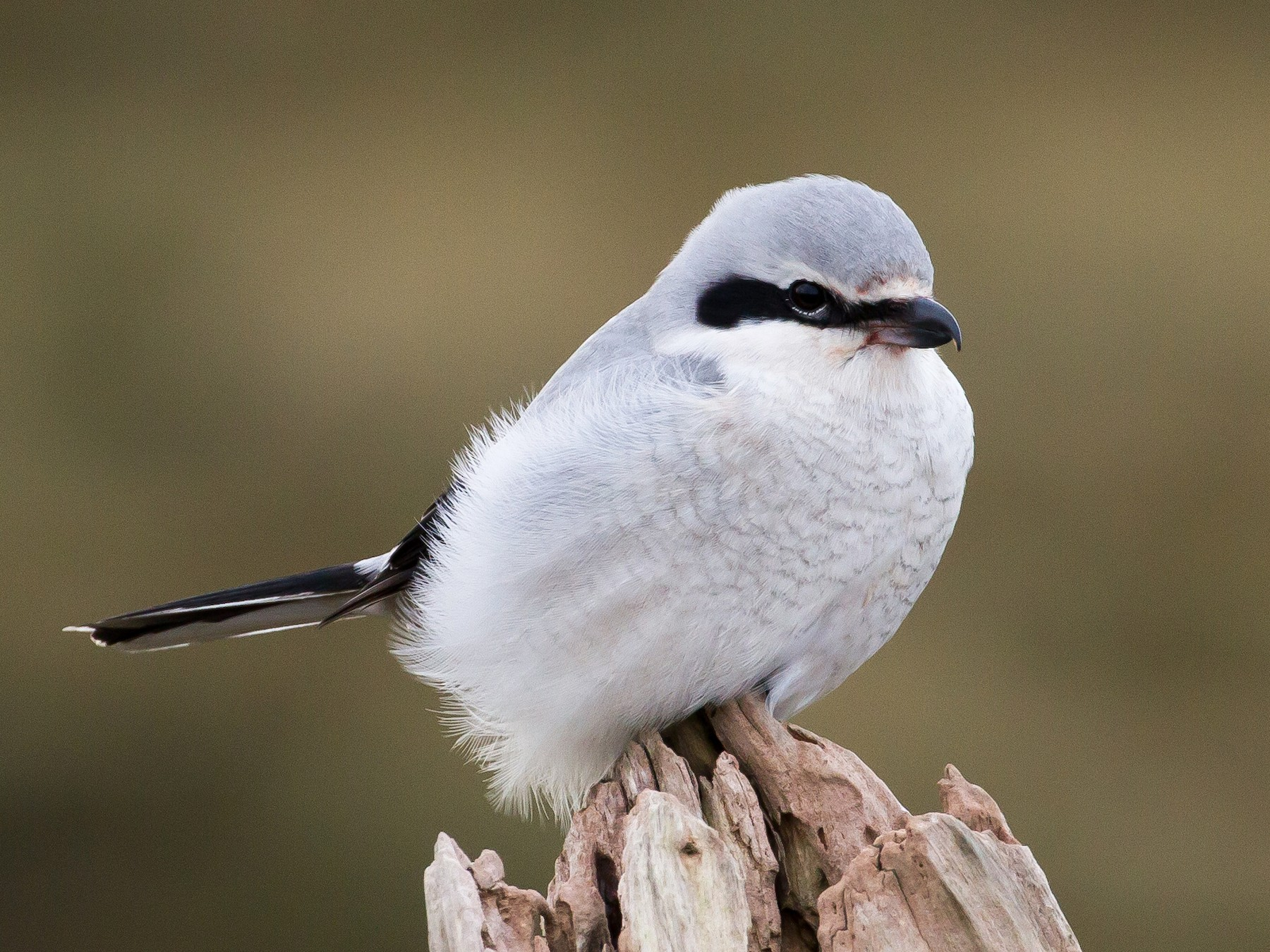 Northern Shrike - Ian Burgess