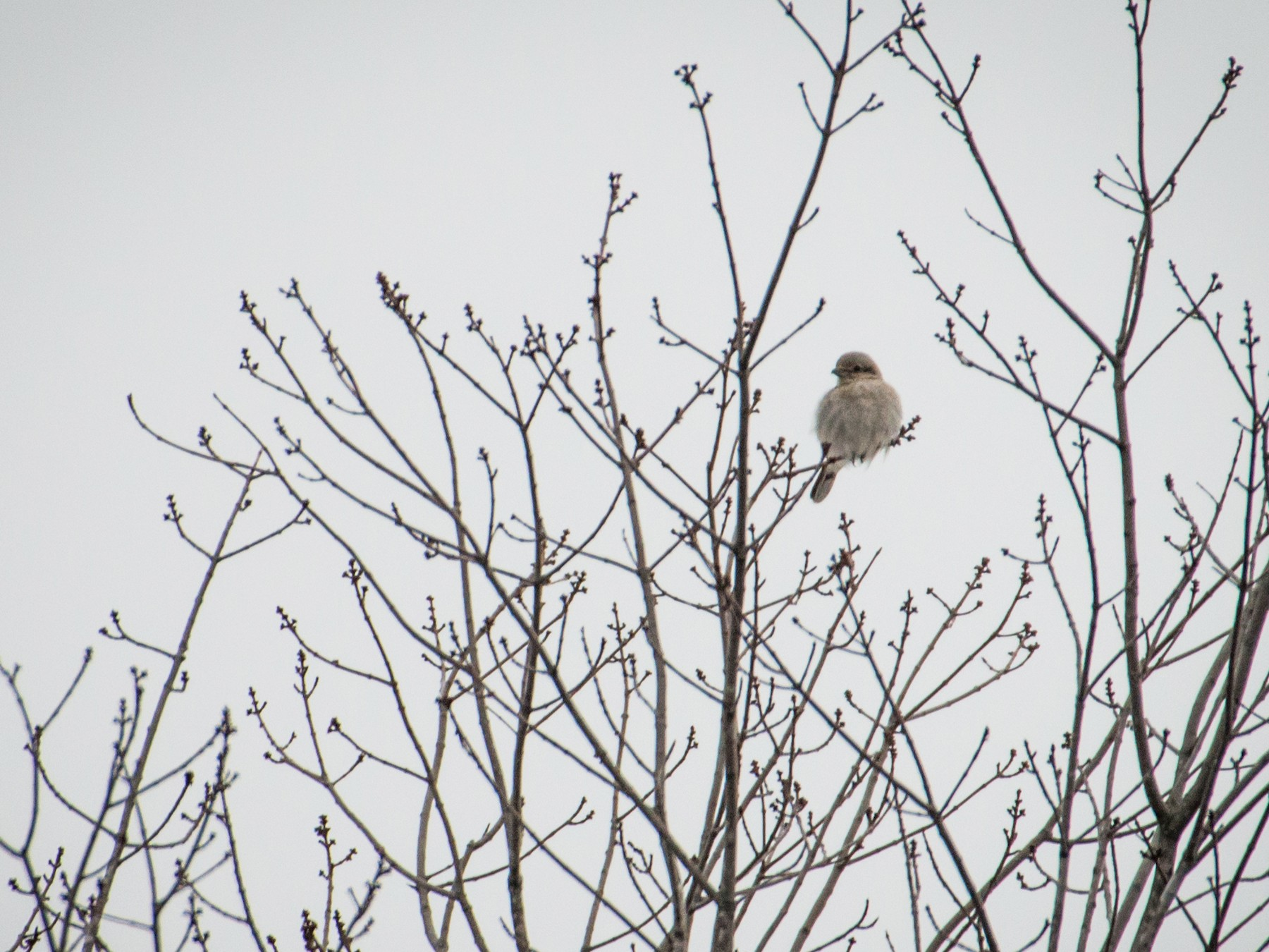 Northern Shrike - Logan Parker