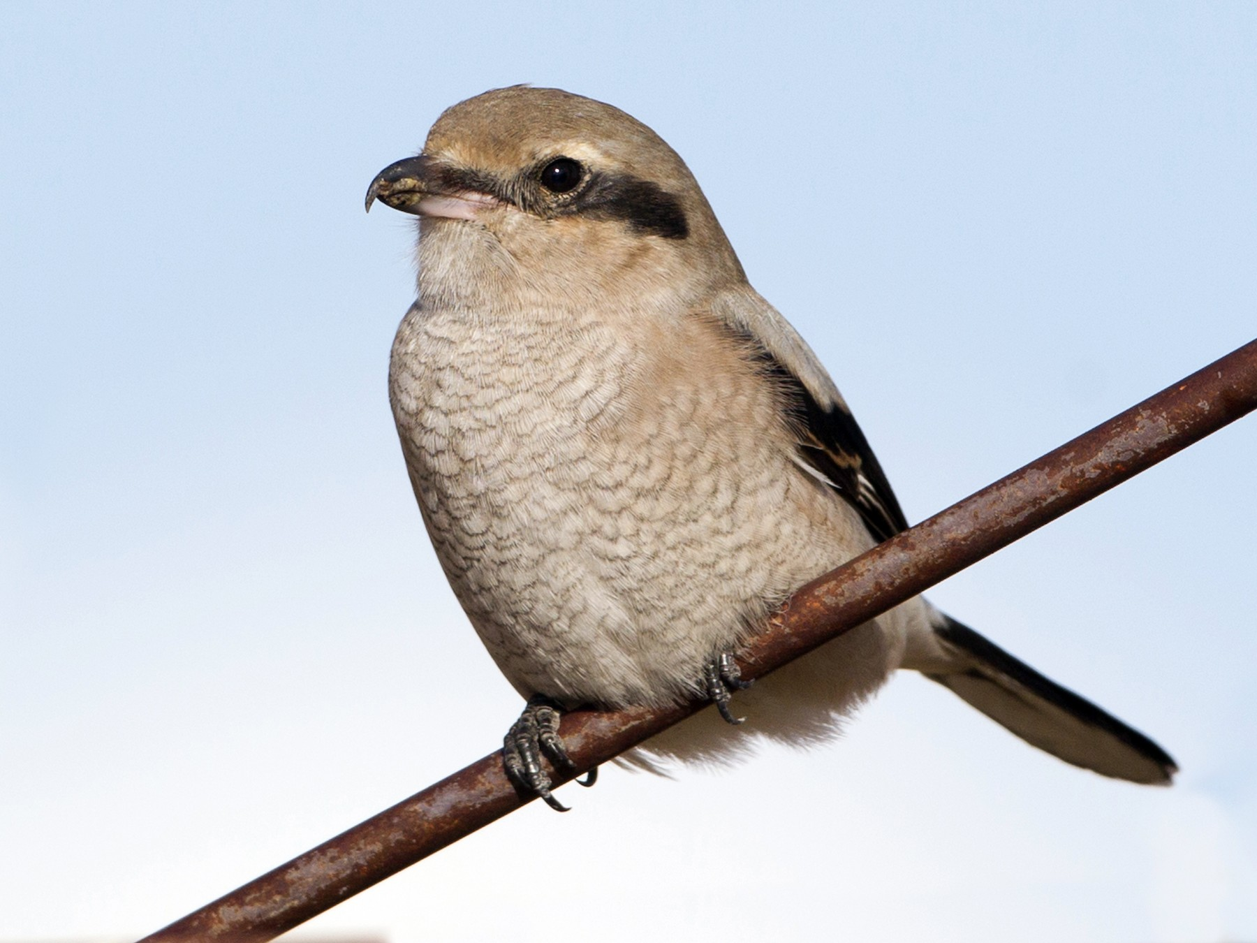 Northern Shrike - Brian Sullivan