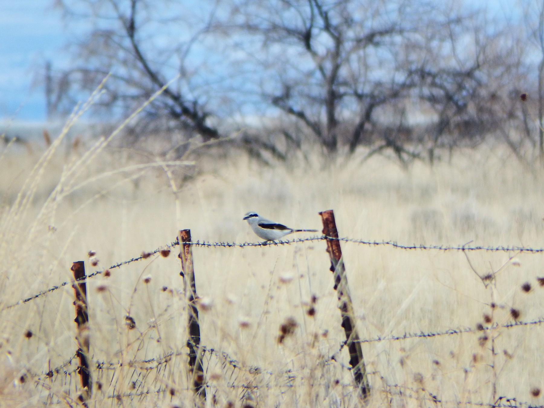 Northern Shrike - Taylor Abbott