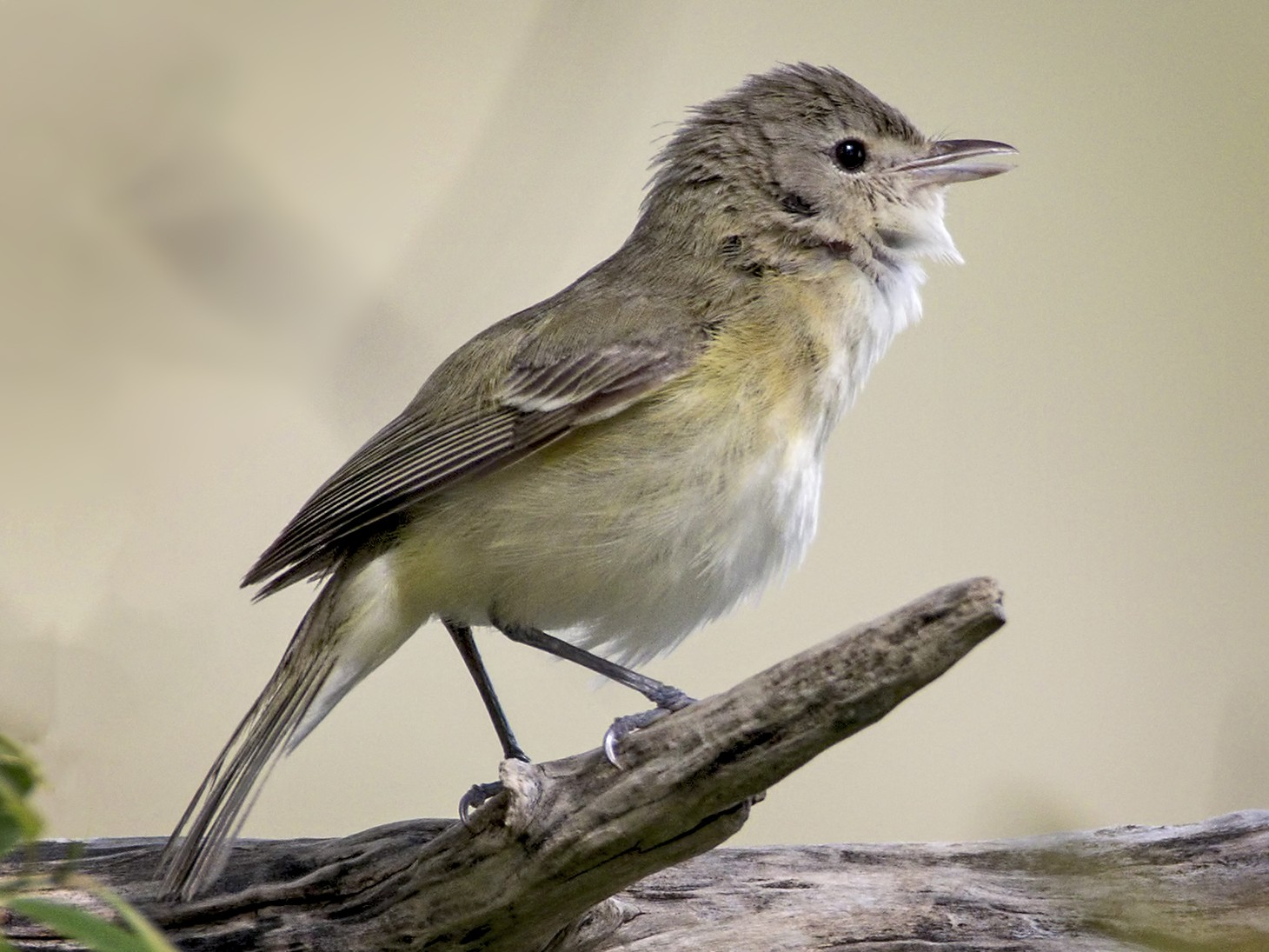Bell's Vireo - Brian Peterson