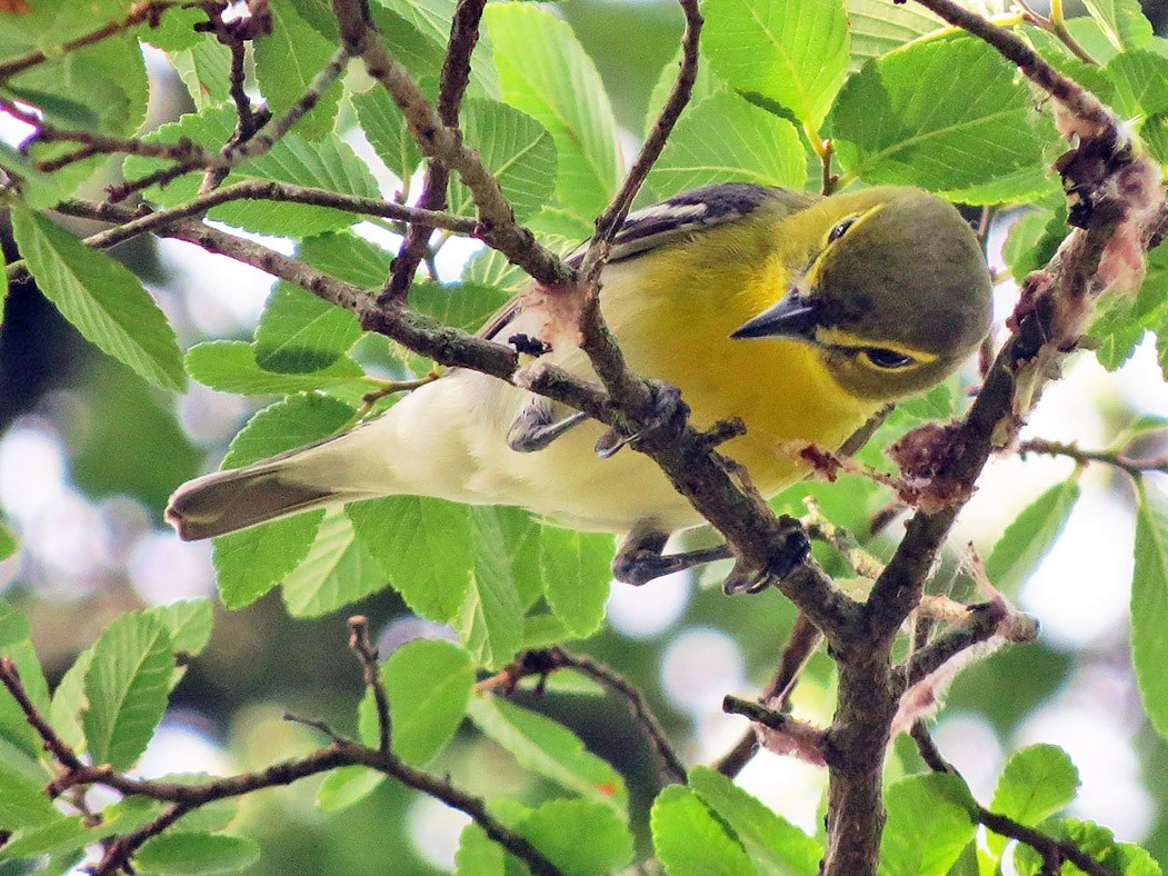 Yellow-throated Vireo - Matt Kyle