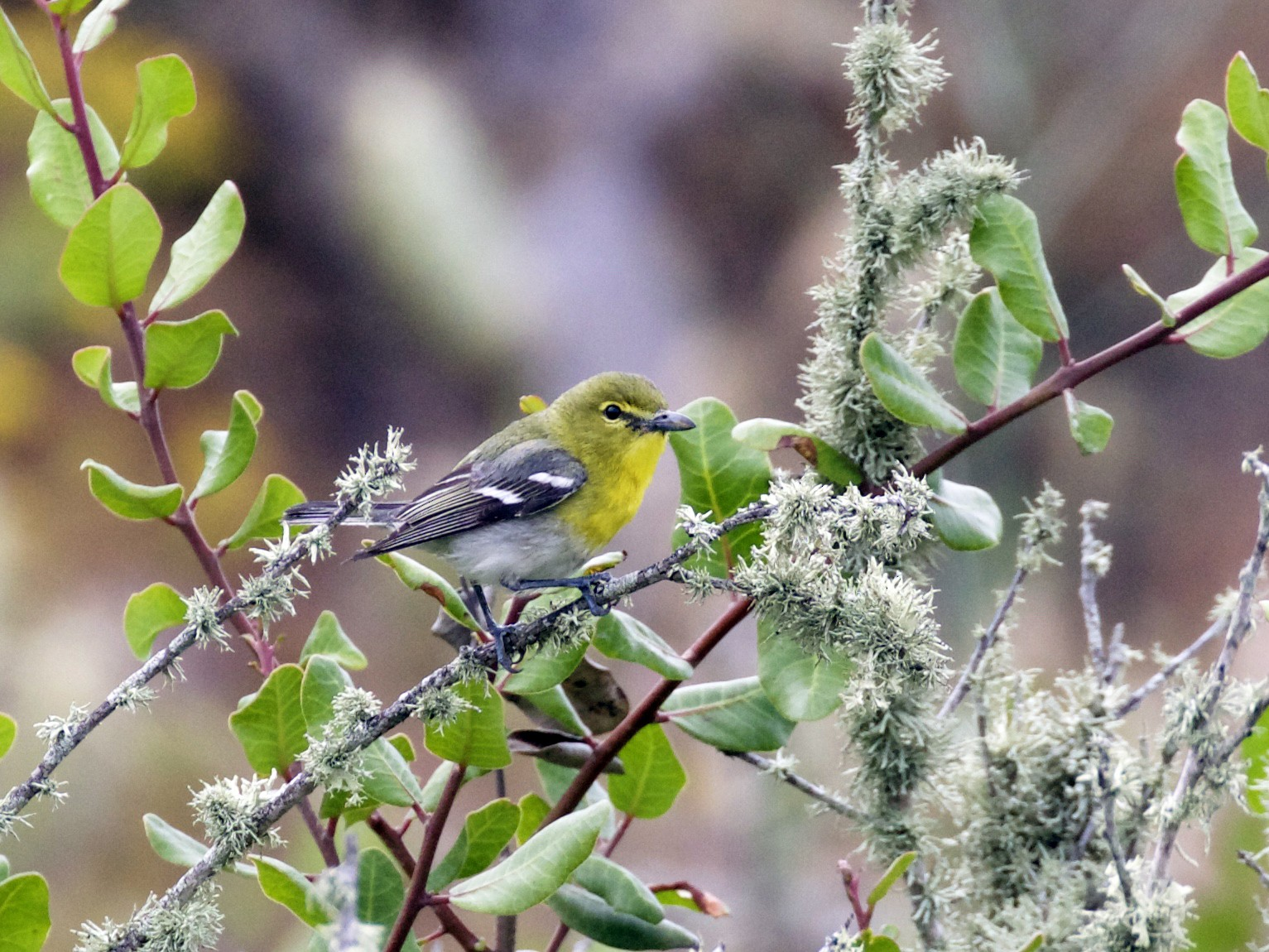 Yellow-throated Vireo - Nicole Desnoyers