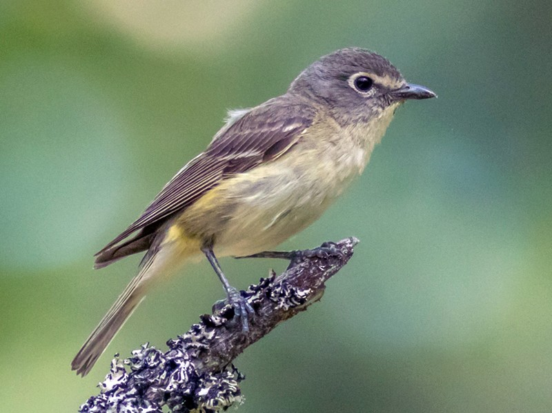 Cassin's Vireo - Kyle Blaney