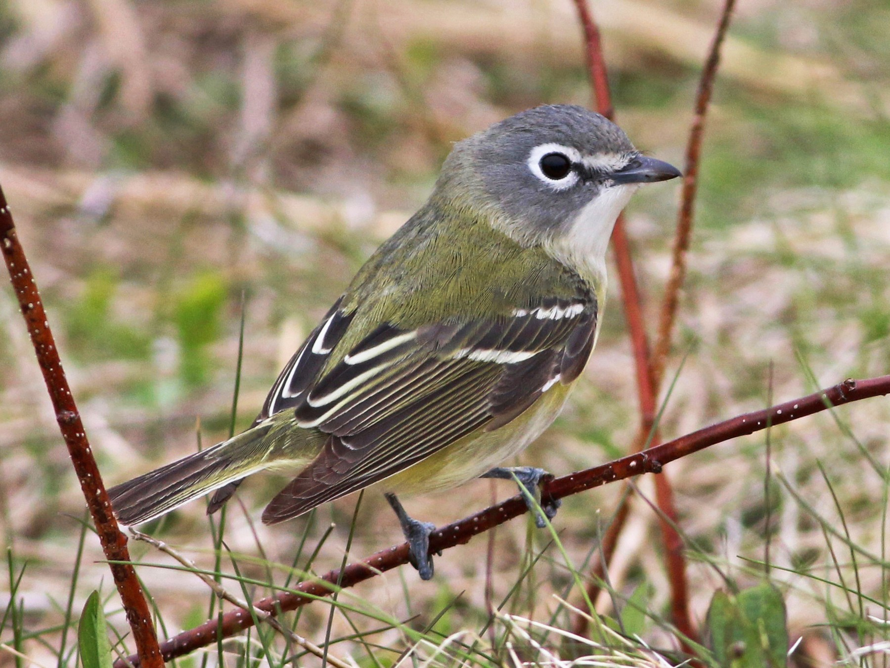 Blue-headed Vireo - Keenan Yakola