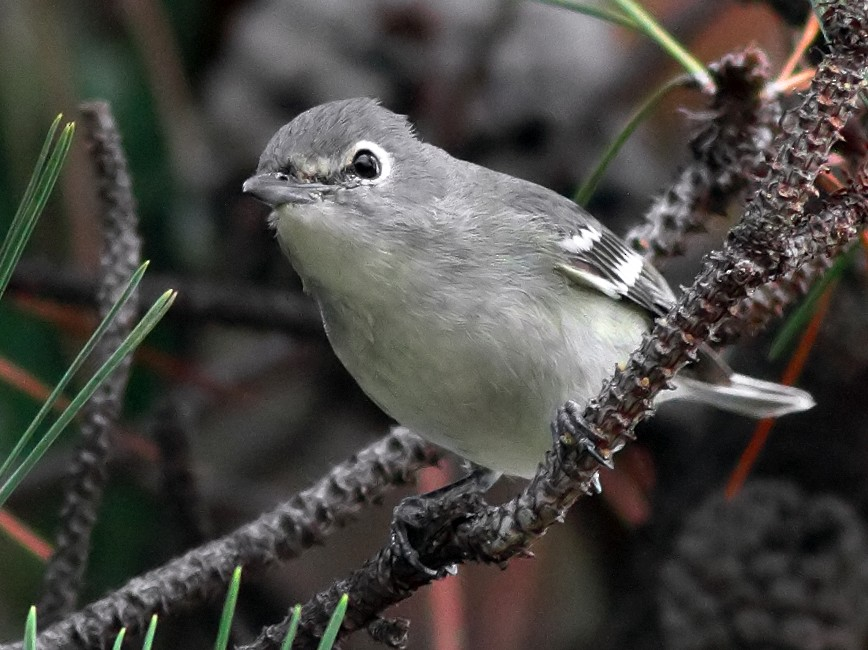 Plumbeous Vireo - Jerry Ting