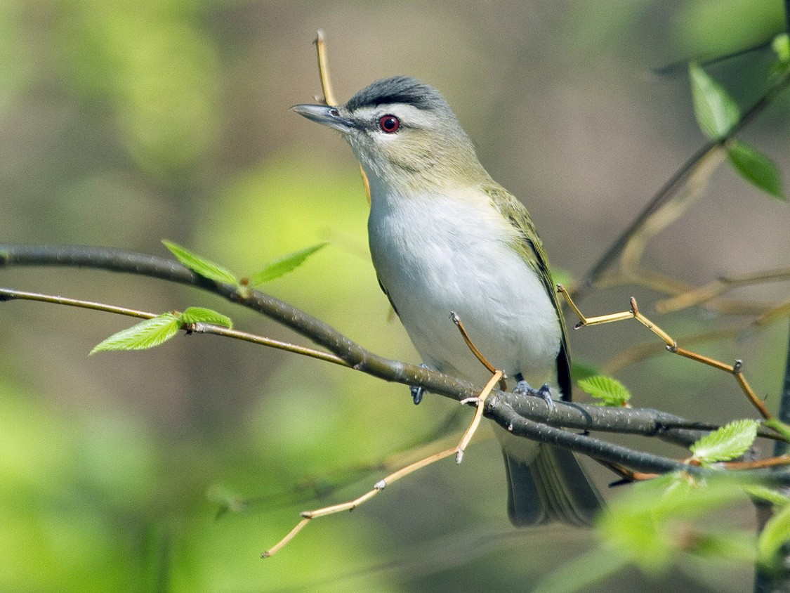 Red-eyed Vireo - Gordon Dimmig