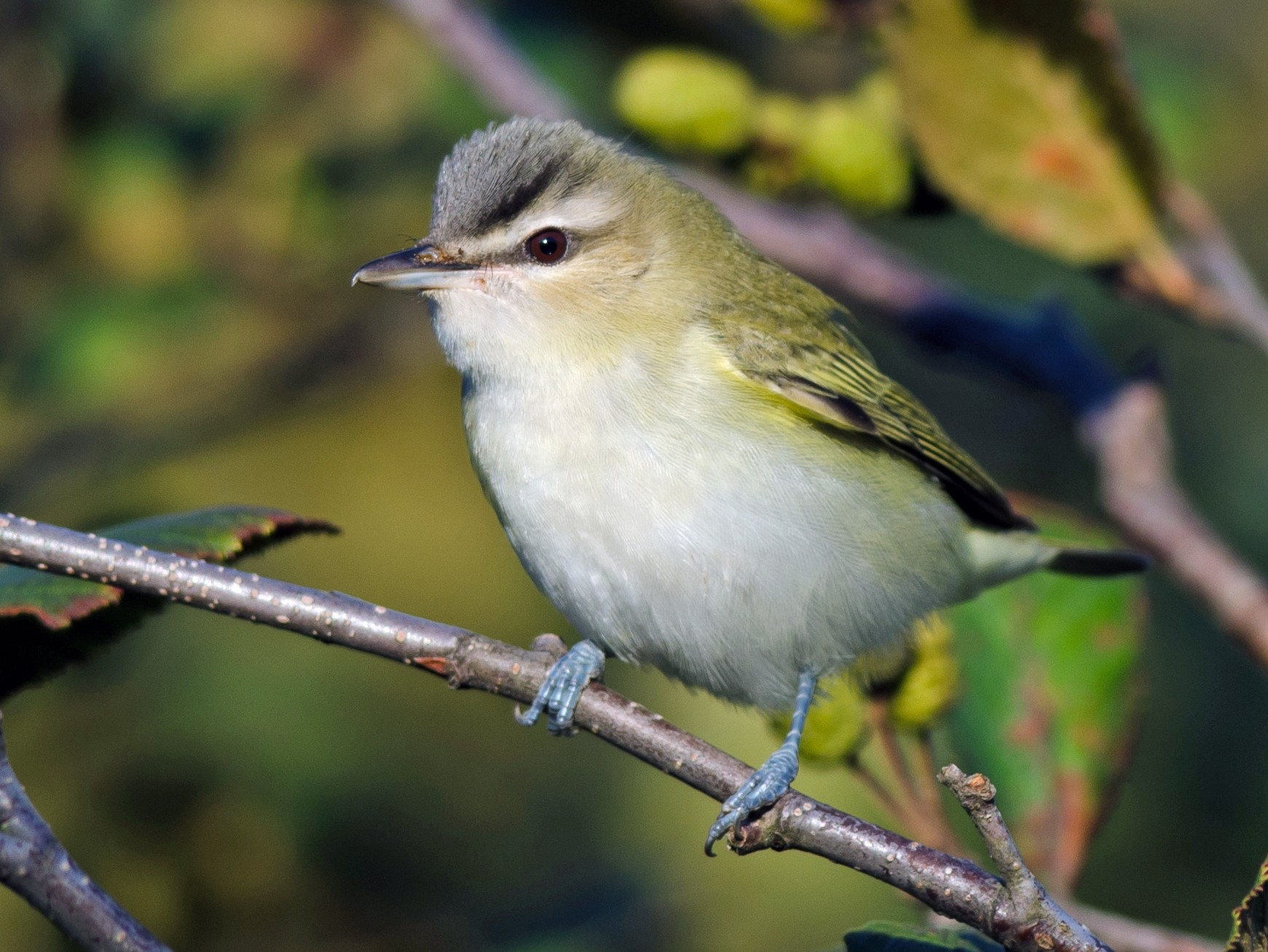 Red-eyed Vireo - Alix d'Entremont