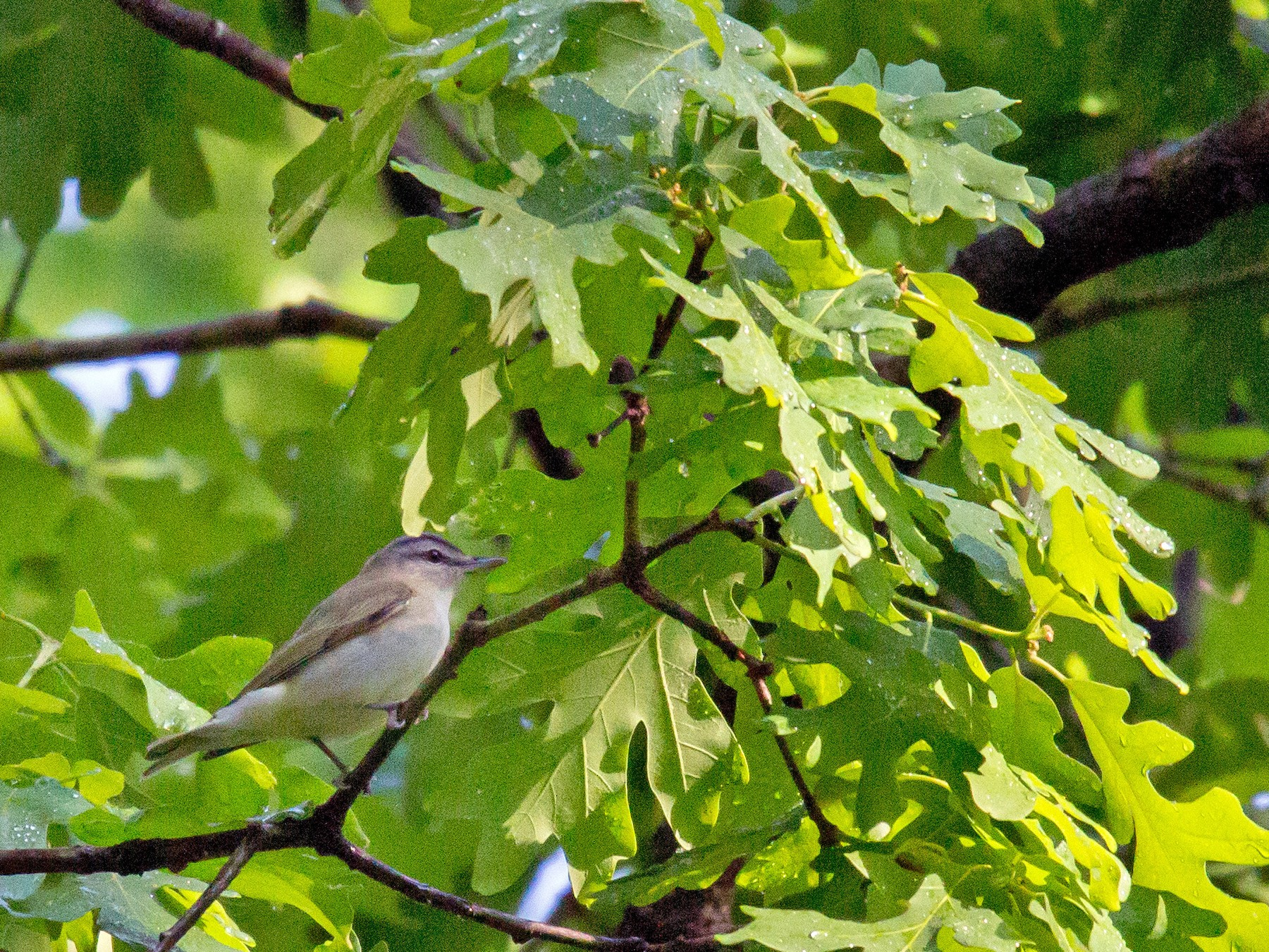 Red-eyed Vireo - Anonymous eBirder