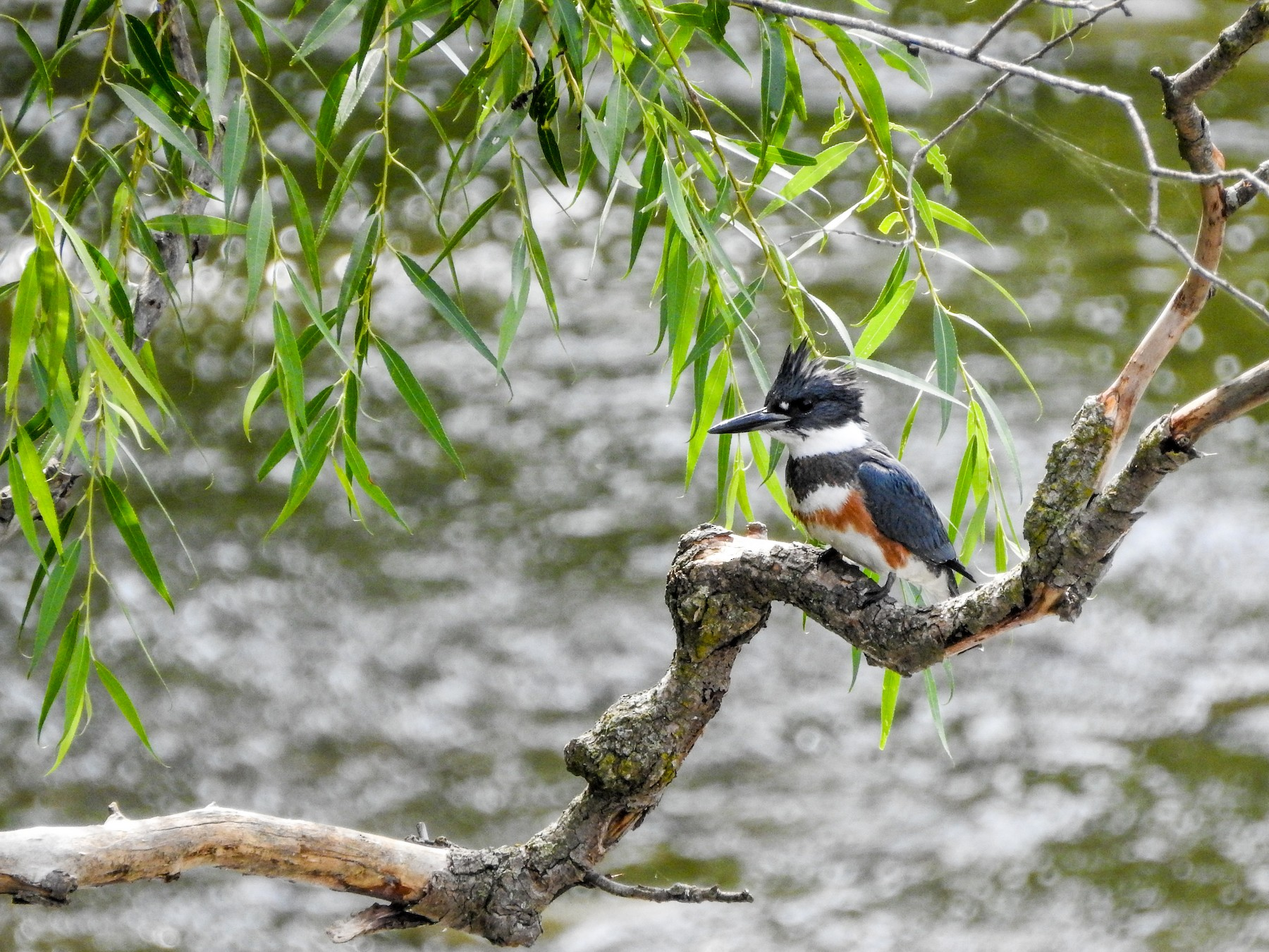 Belted Kingfisher - Pat Hare