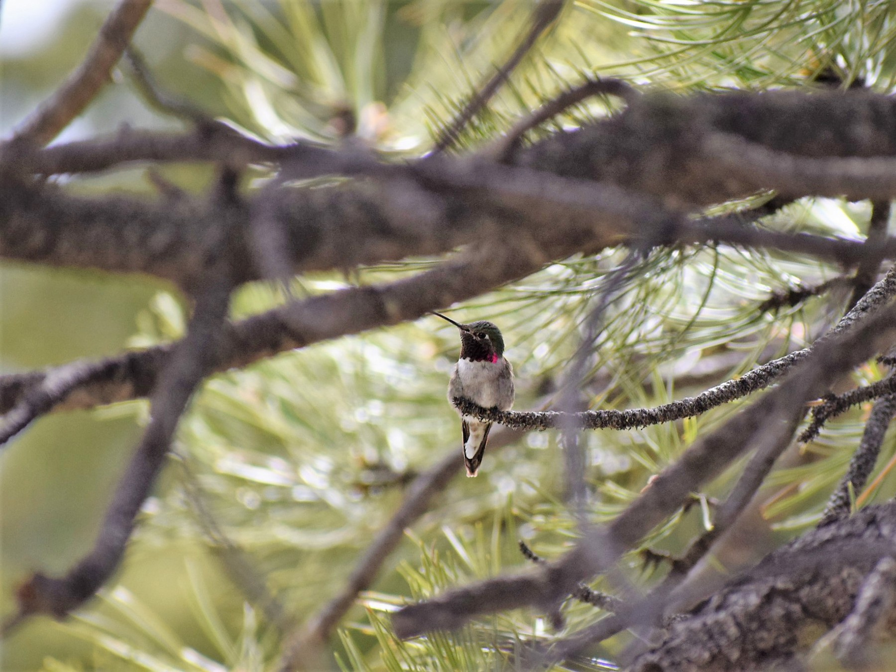 Broad-tailed Hummingbird - James McCall