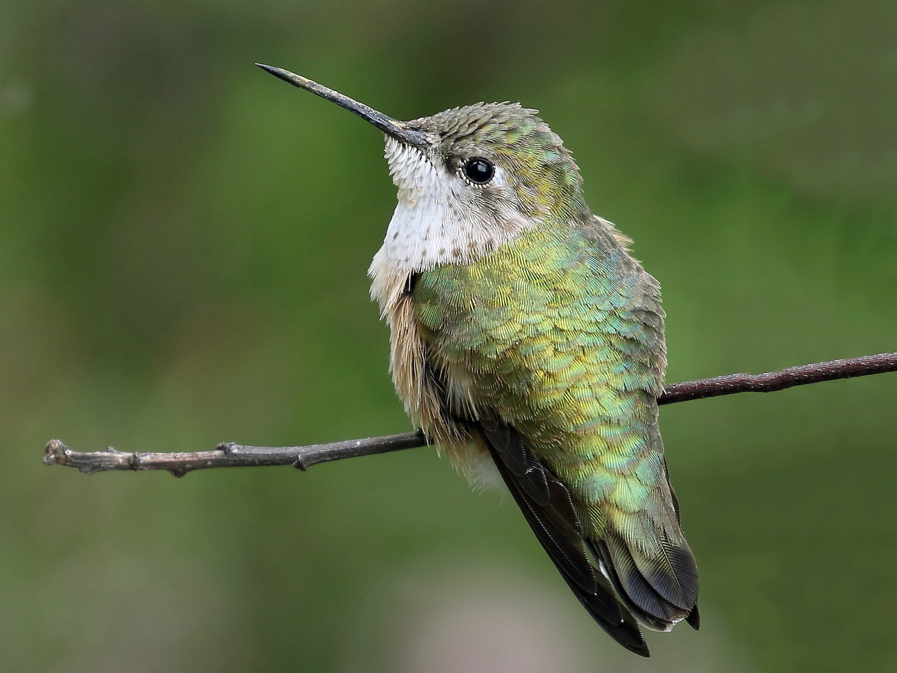Calliope Hummingbird - Kent Leland