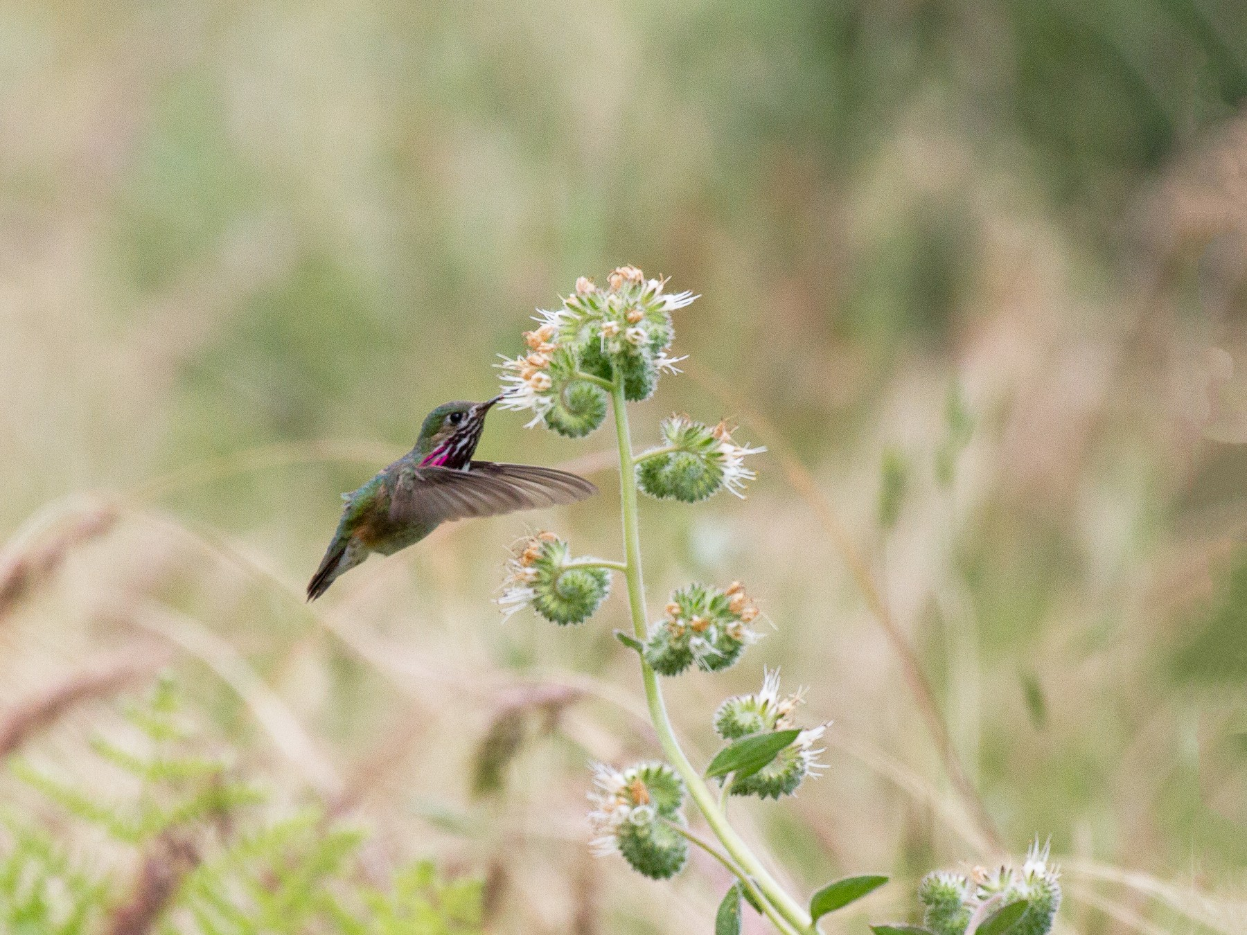 Calliope Hummingbird - Griffin Richards