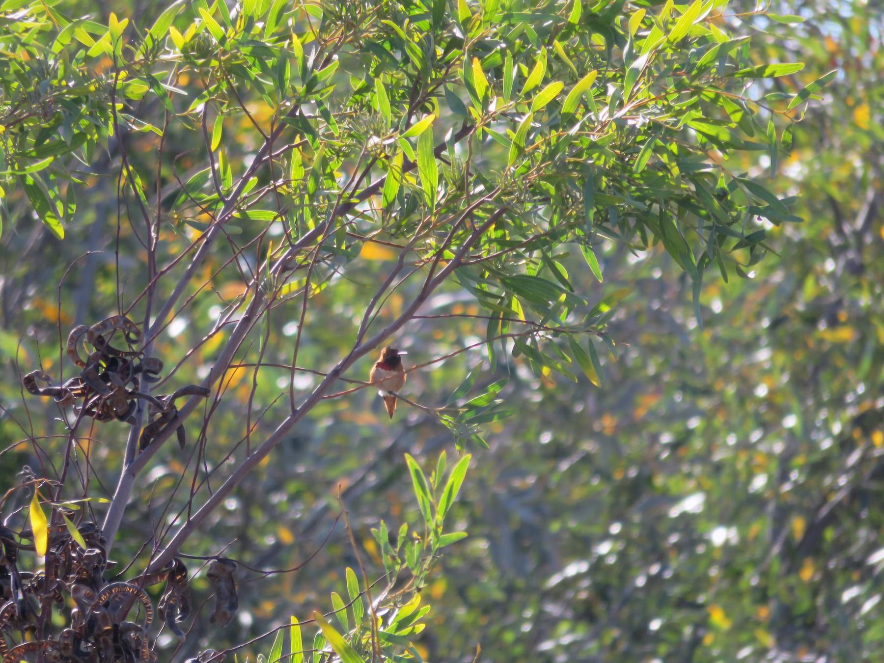 Allen's Hummingbird - Tyler Petroelje