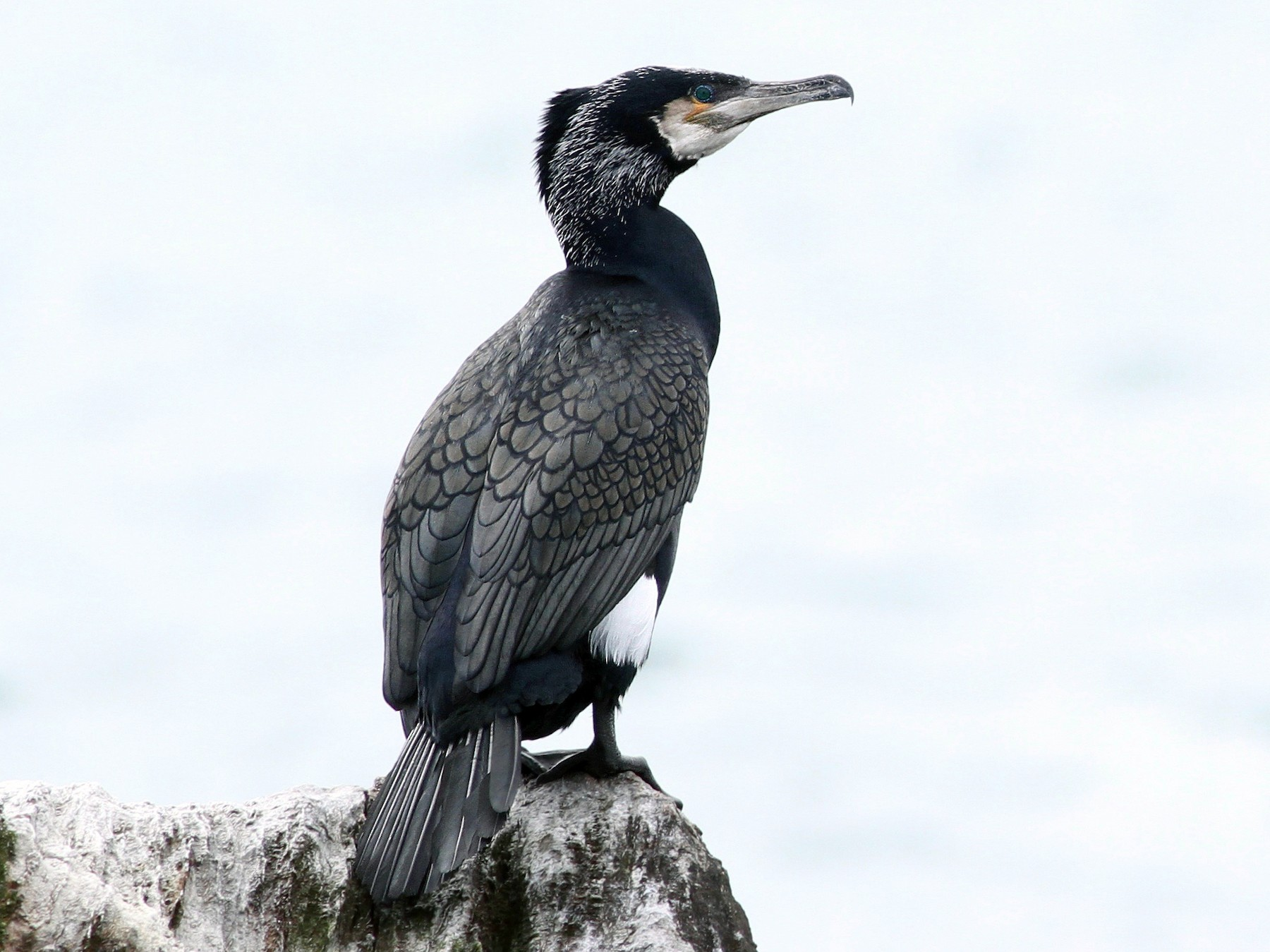 Great Cormorant - Evan Lipton