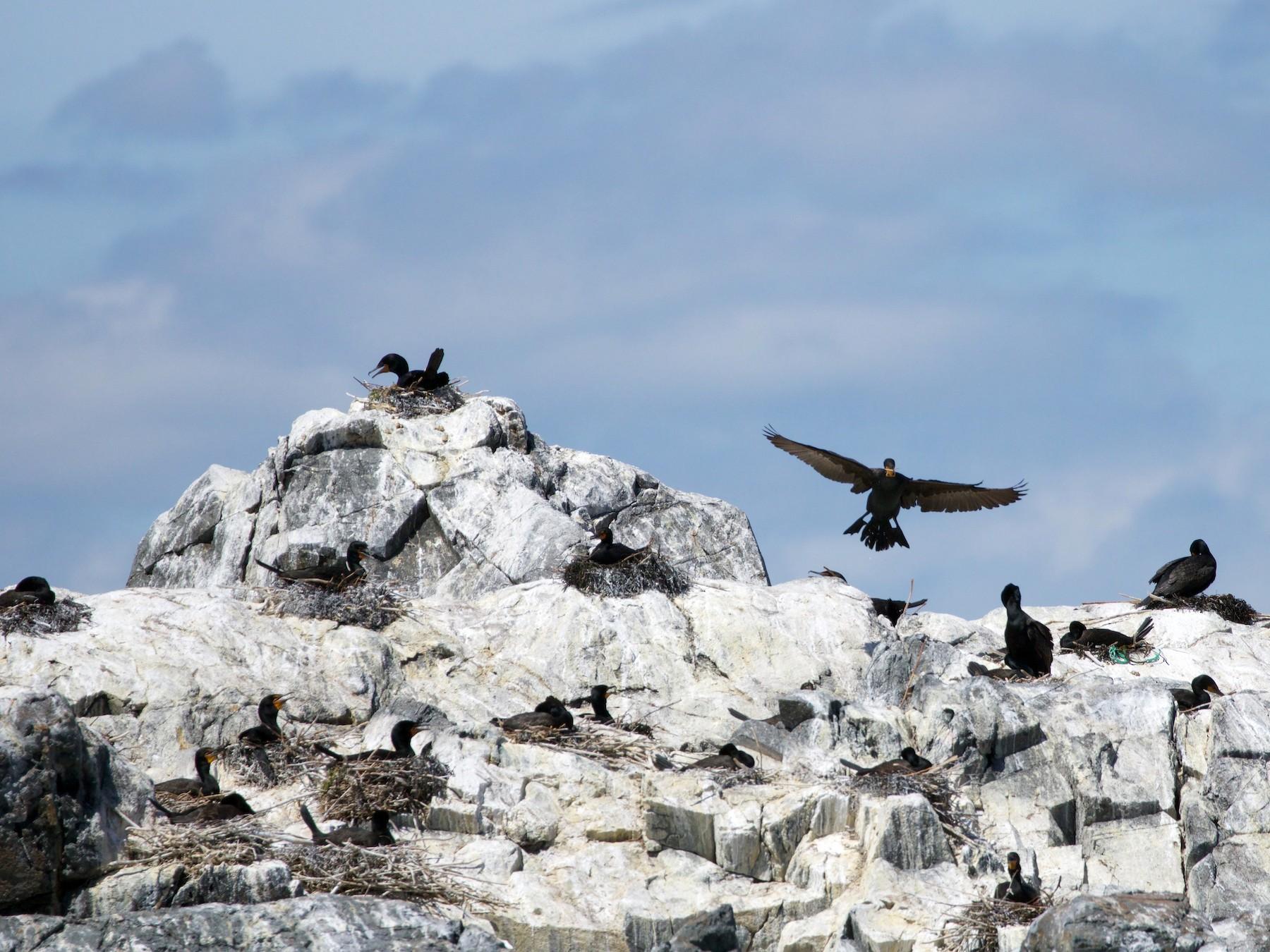 Double-crested Cormorant - Anonymous  eBirder