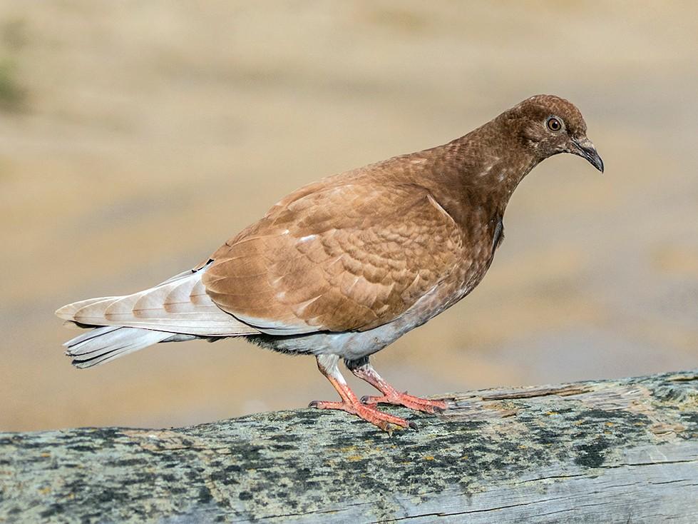 Rock Pigeon - Suzanne Labbé
