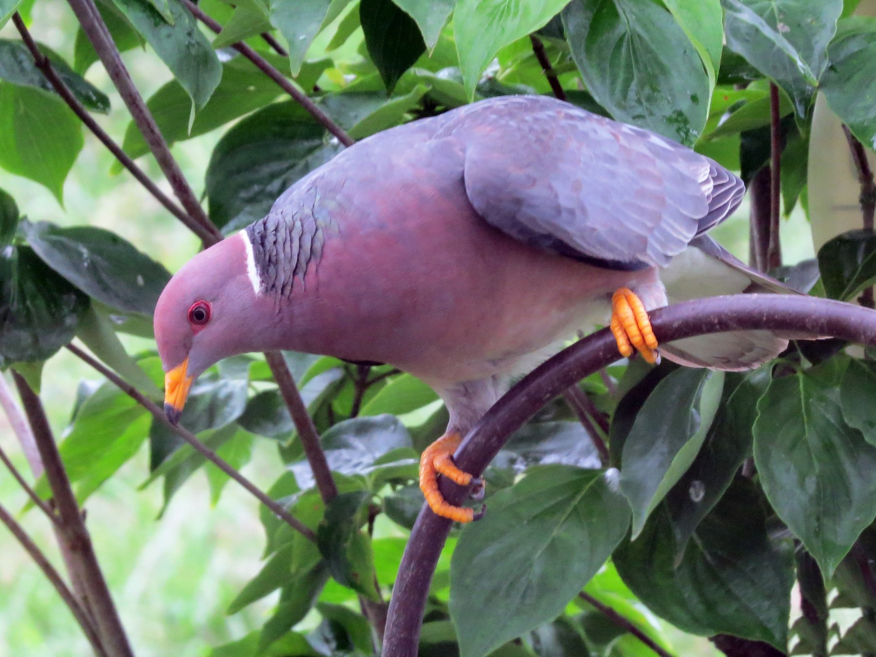 Band-tailed Pigeon - Gary Bletsch