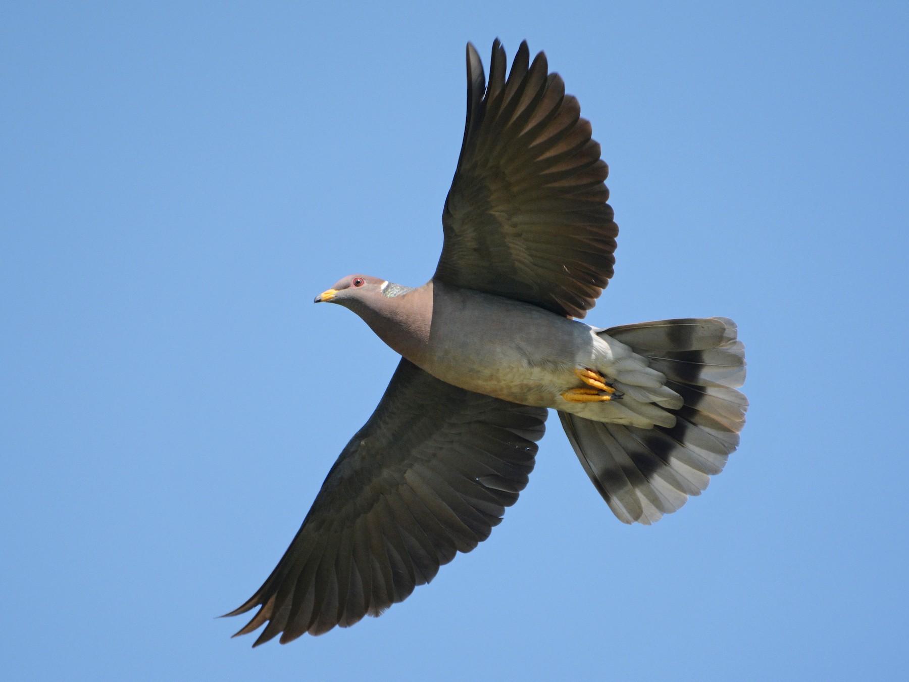 Band-tailed Pigeon - Bridget  Spencer