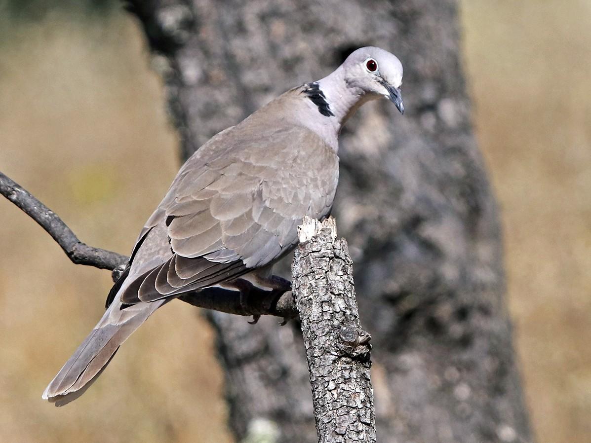 Eurasian Collared-Dove - Francisco Barroqueiro
