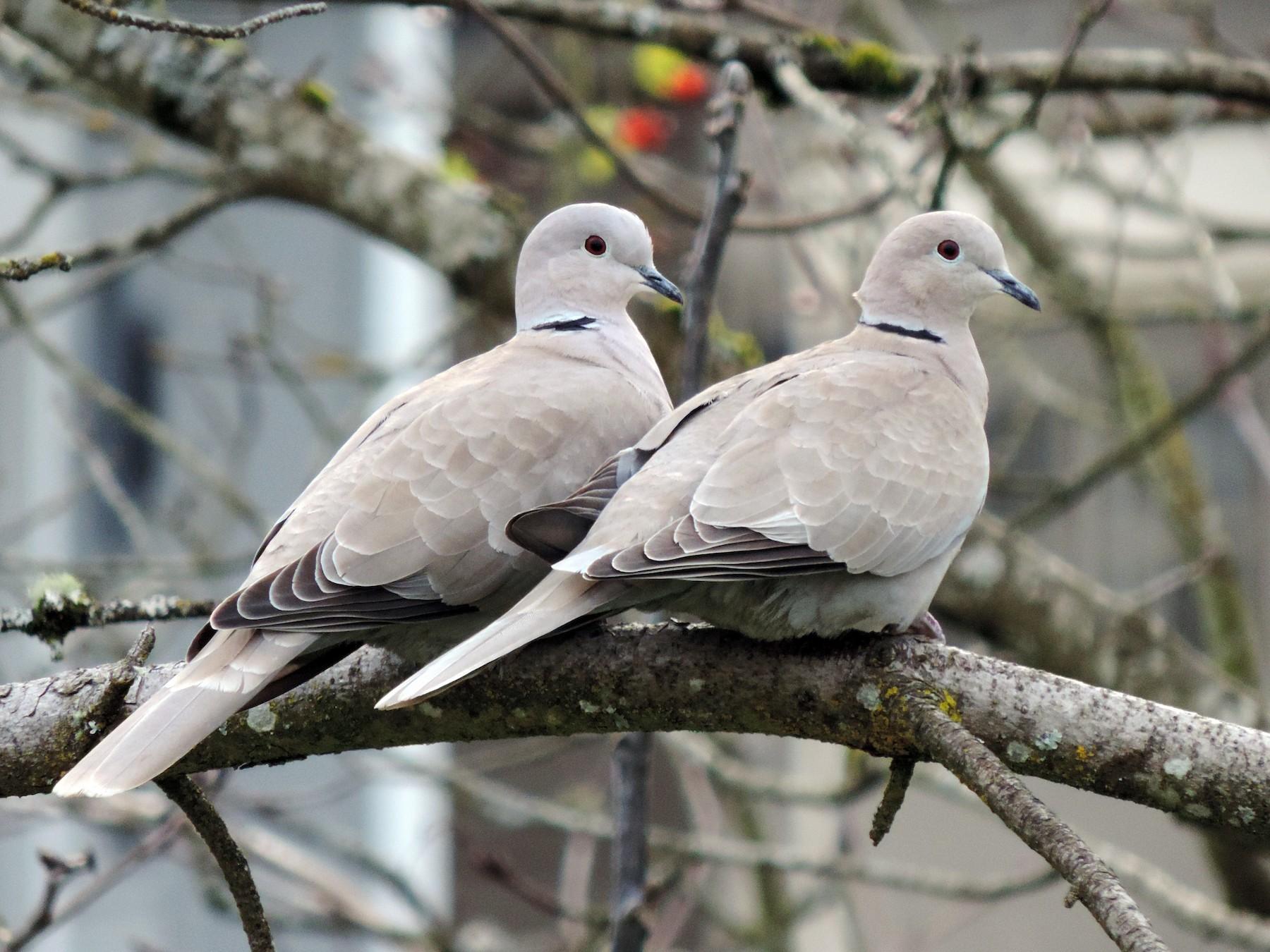 Eurasian Collared-Dove - Sylvia Maulding