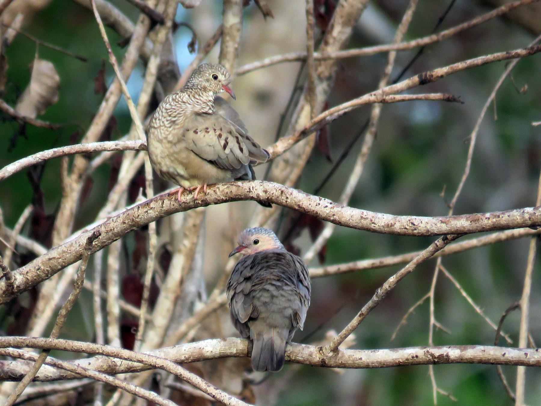 Common Ground Dove - Ismael Arellano (ichitours.com)
