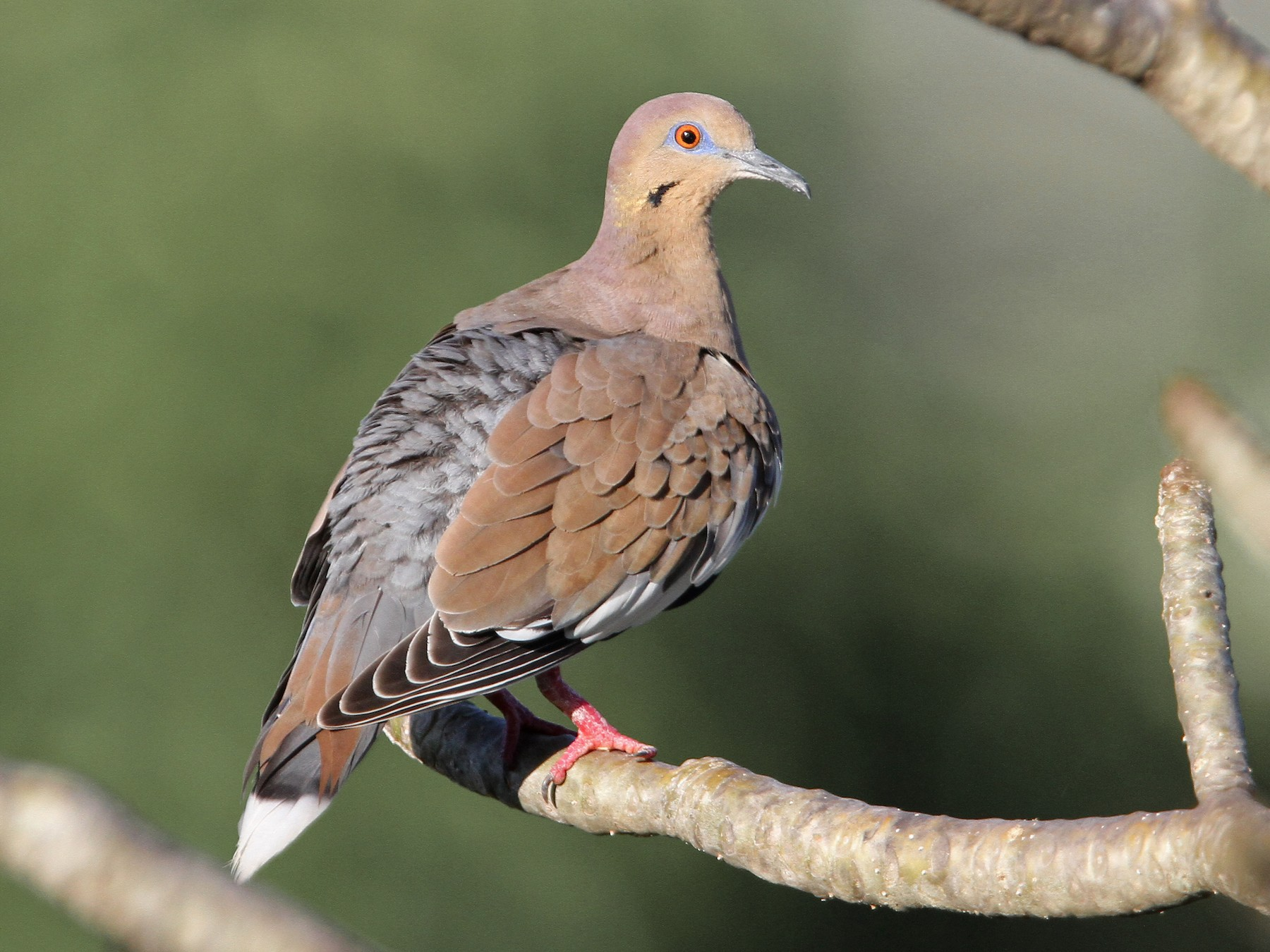 White-winged Dove - Christoph Moning