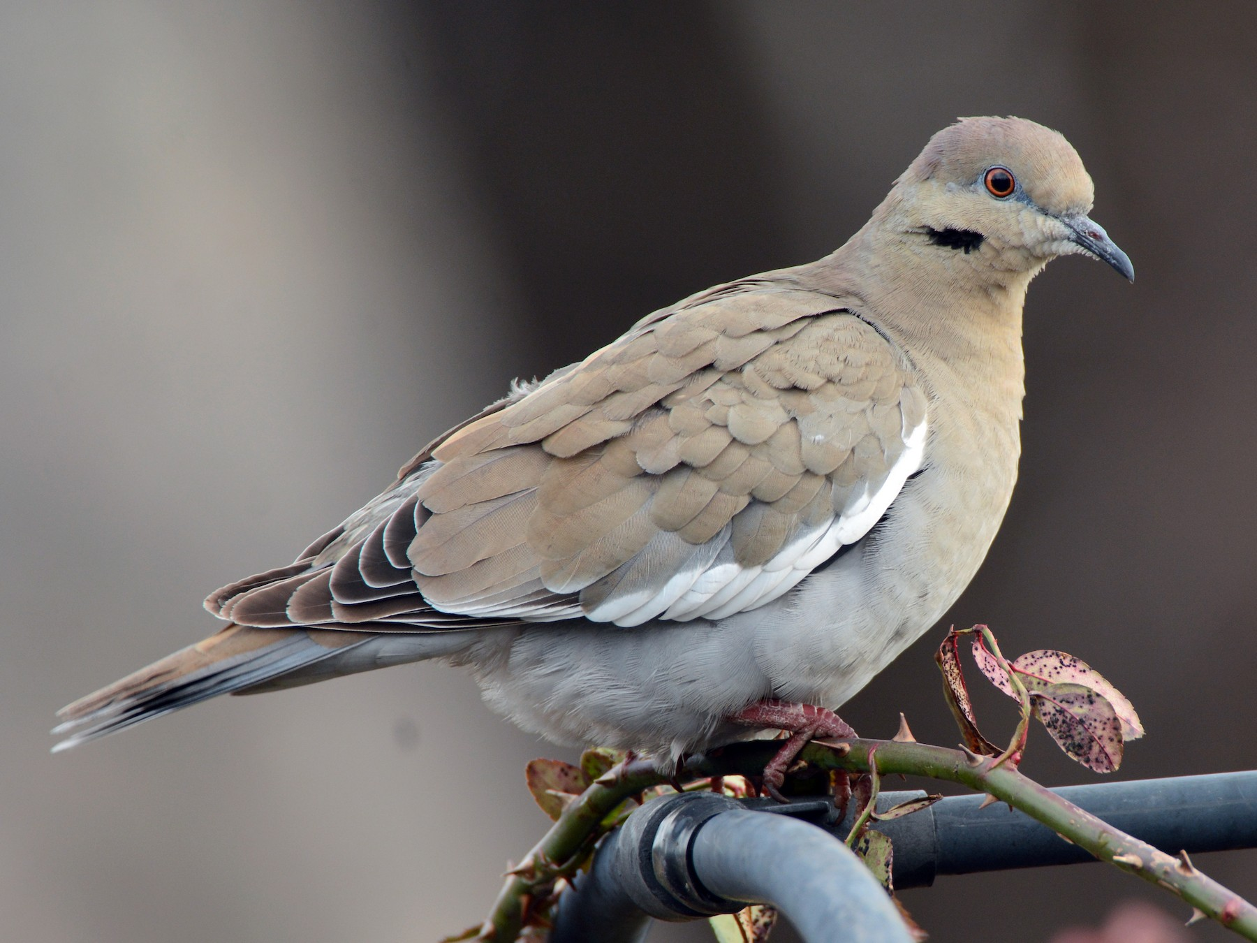White-winged Dove - Ted Bradford