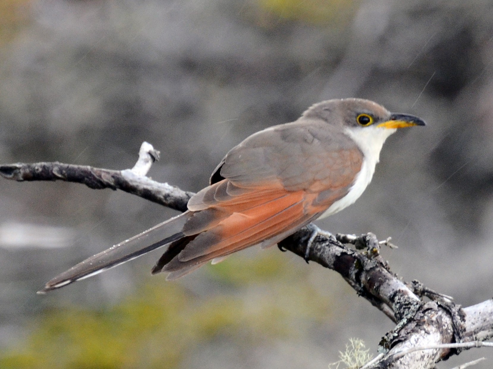 Yellow-billed Cuckoo - David M. Bell