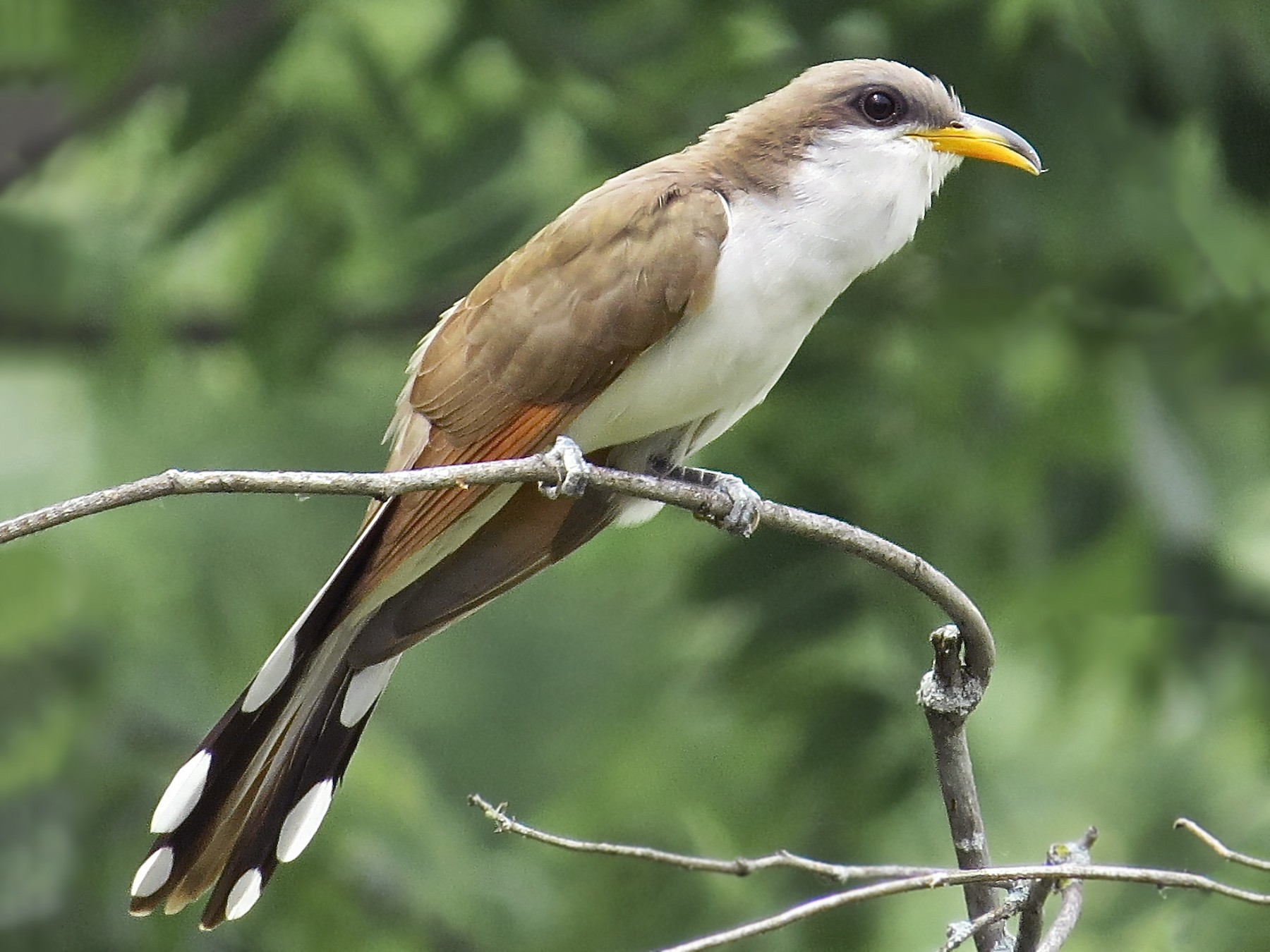 Yellow-billed Cuckoo - Benjamin Murphy