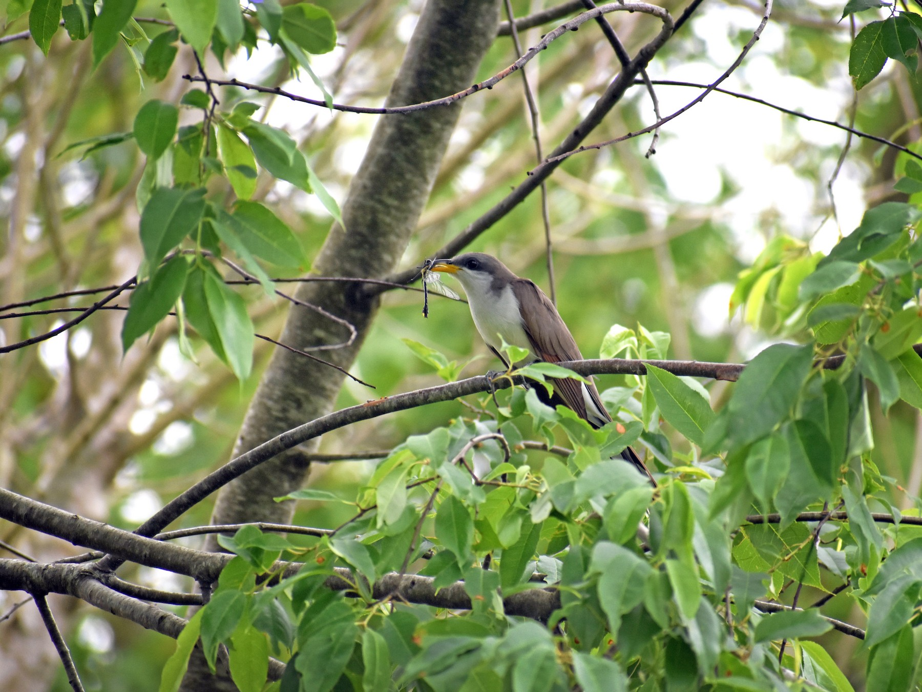 Yellow-billed Cuckoo - Luke Thompson