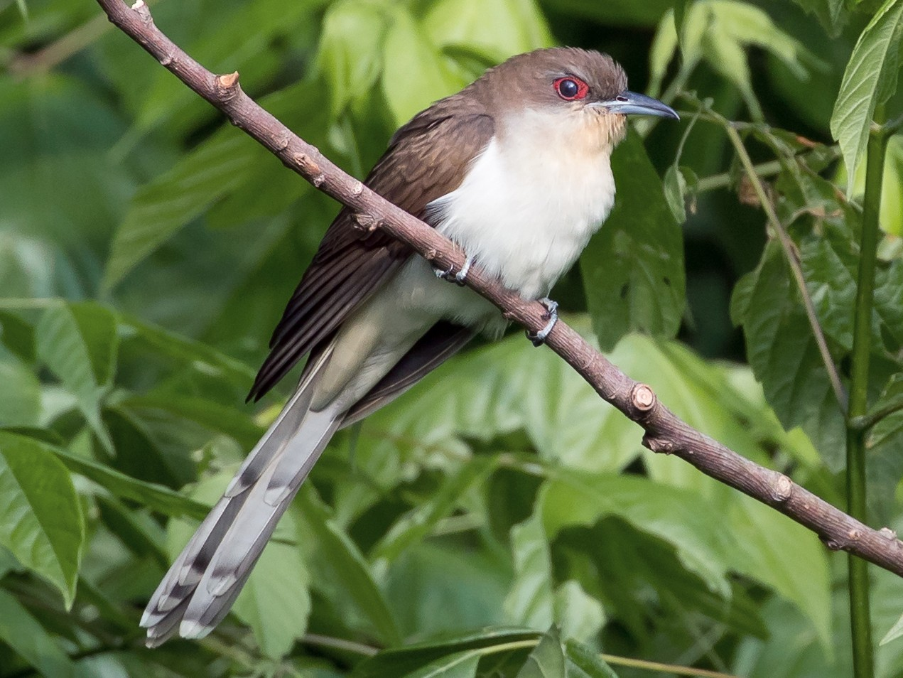 Black-billed Cuckoo - Christopher Sloan