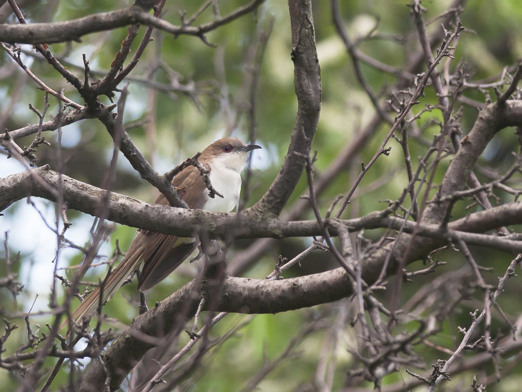 Black-billed Cuckoo - Etienne Artigau