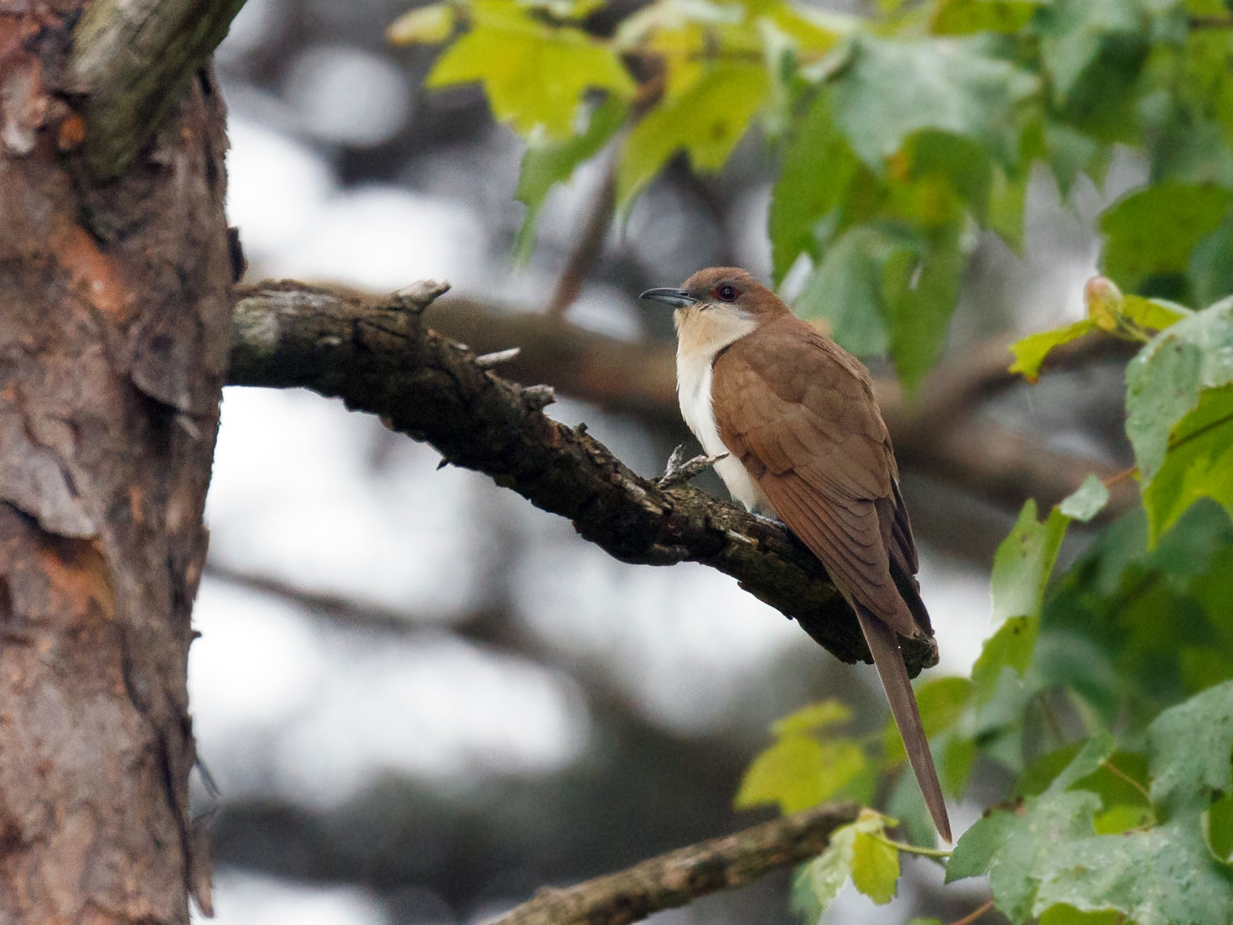 Black-billed Cuckoo - Simon Best