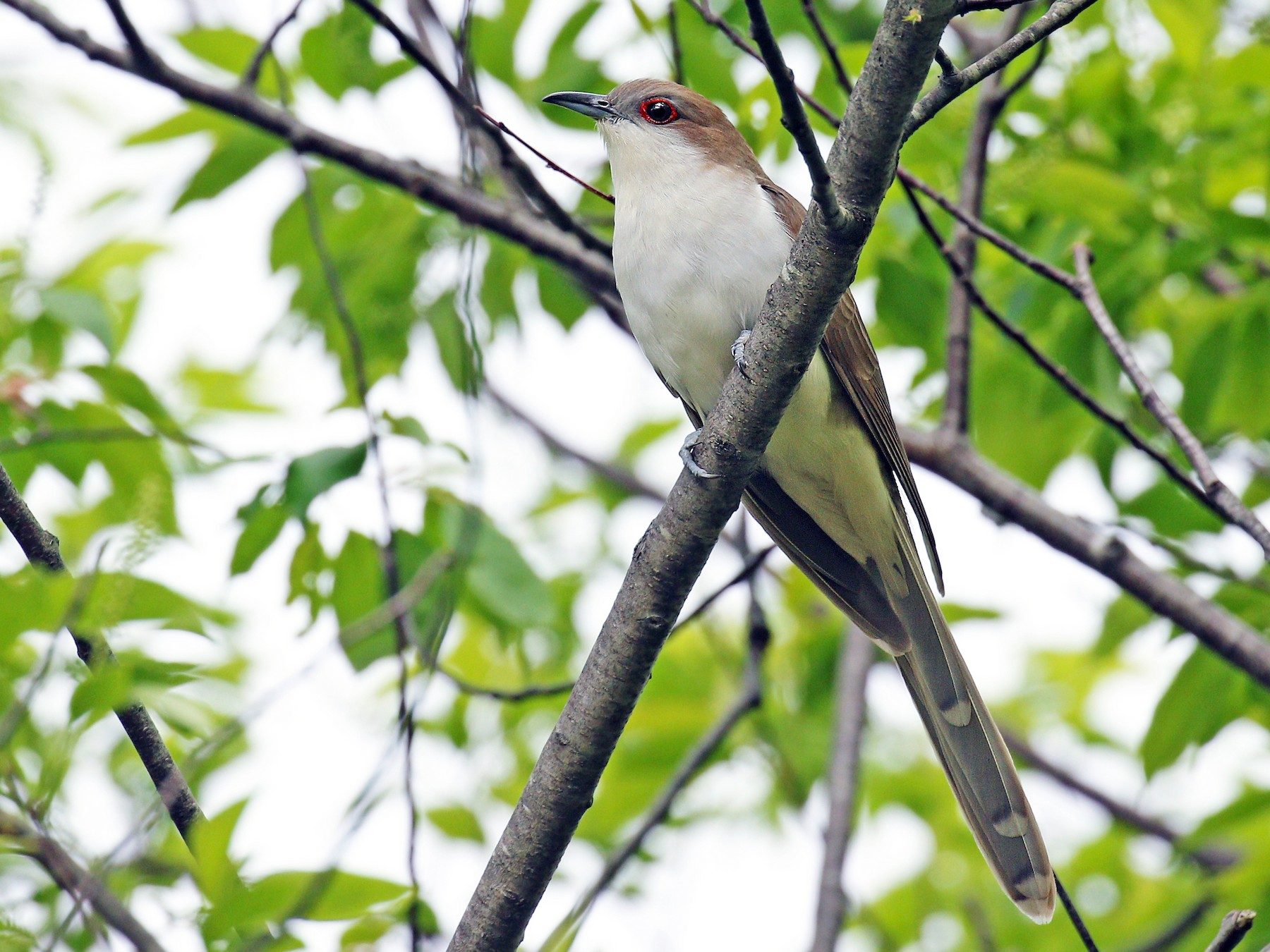 Black-billed Cuckoo - Ryan Schain